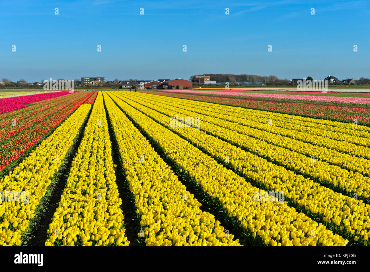 Field with yellow tulips, Yellow Purissima variety, production of flower bulbs, flower bulb region Bollenstreek, - Stock Image