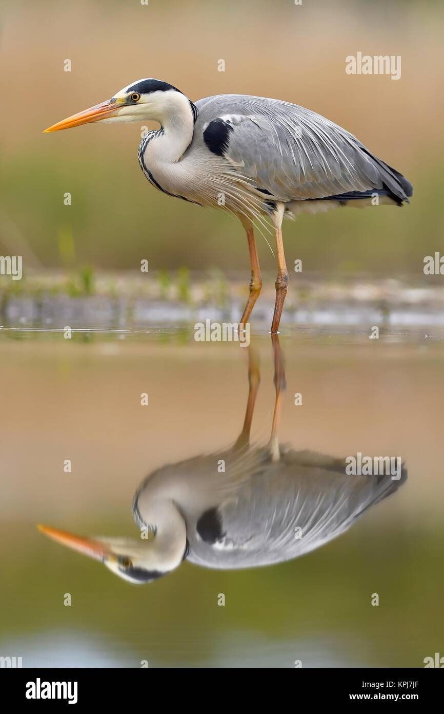 Grey herons (Ardea cinerea), standing in the water, with reflection, National Park Kiskunsag, Hungary - Stock Image