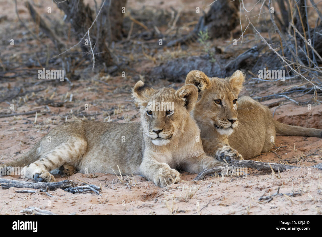 African lions (Panthera leo), two cubs lying on sand, Kgalagadi Transfrontier Park, Northern Cape, South Africa - Stock Image