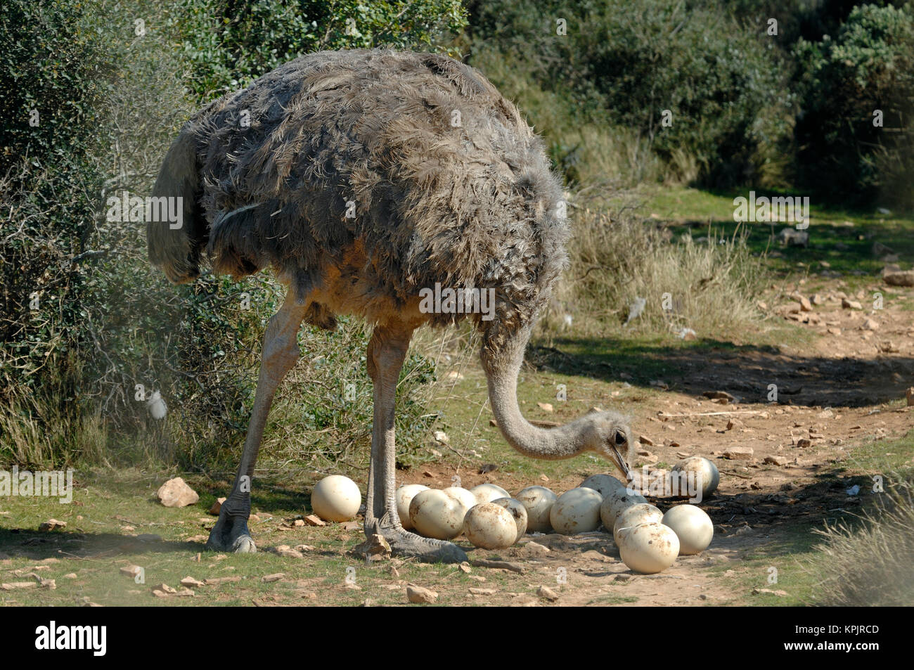 Female Ostrich or Common Ostrich, Struthio camelus, & Clutch of Eggs - Stock Image