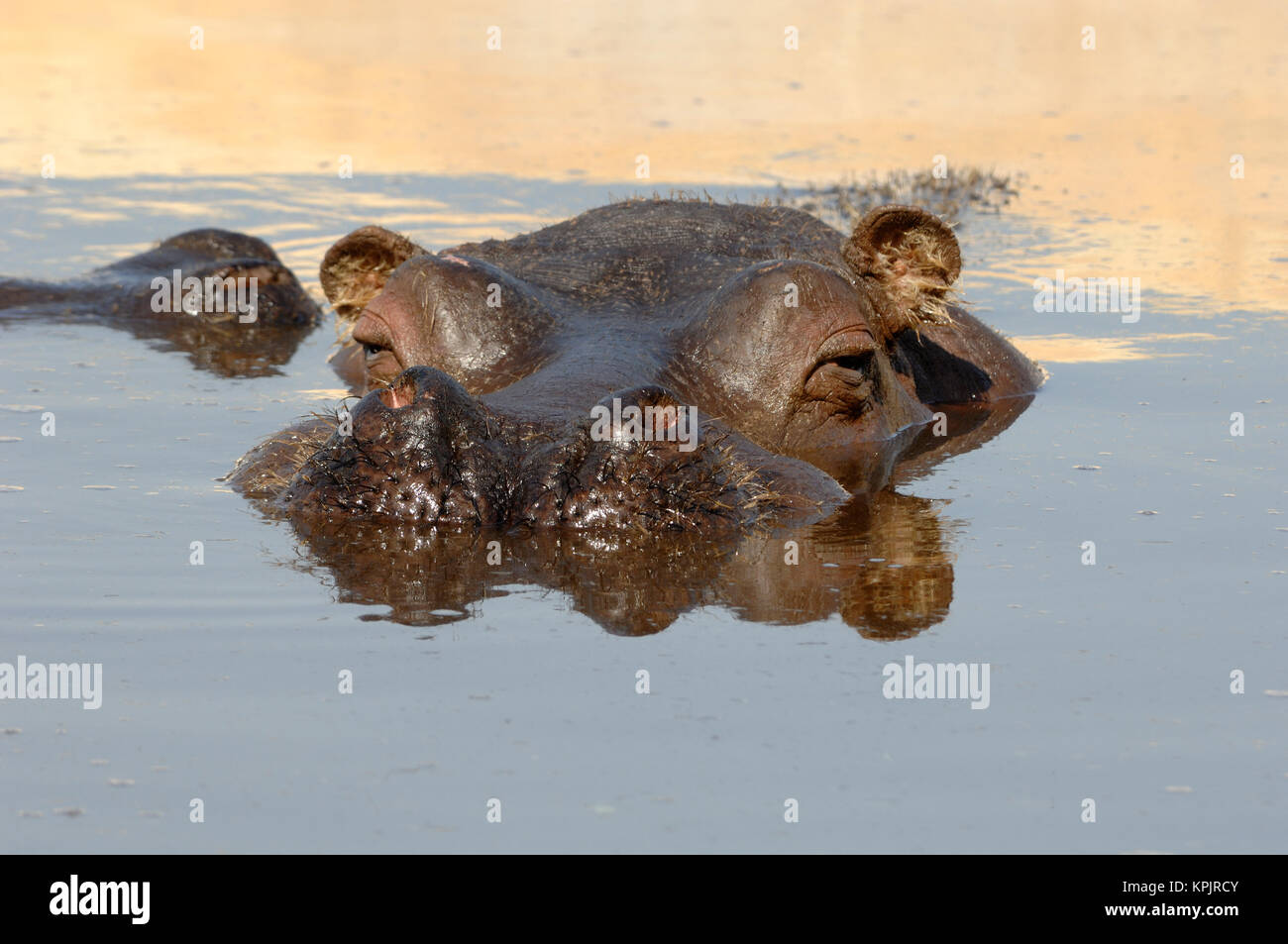Submerged or Wallowing Hippo or Hippopotamus amphibius with Head Above Water - Stock Image