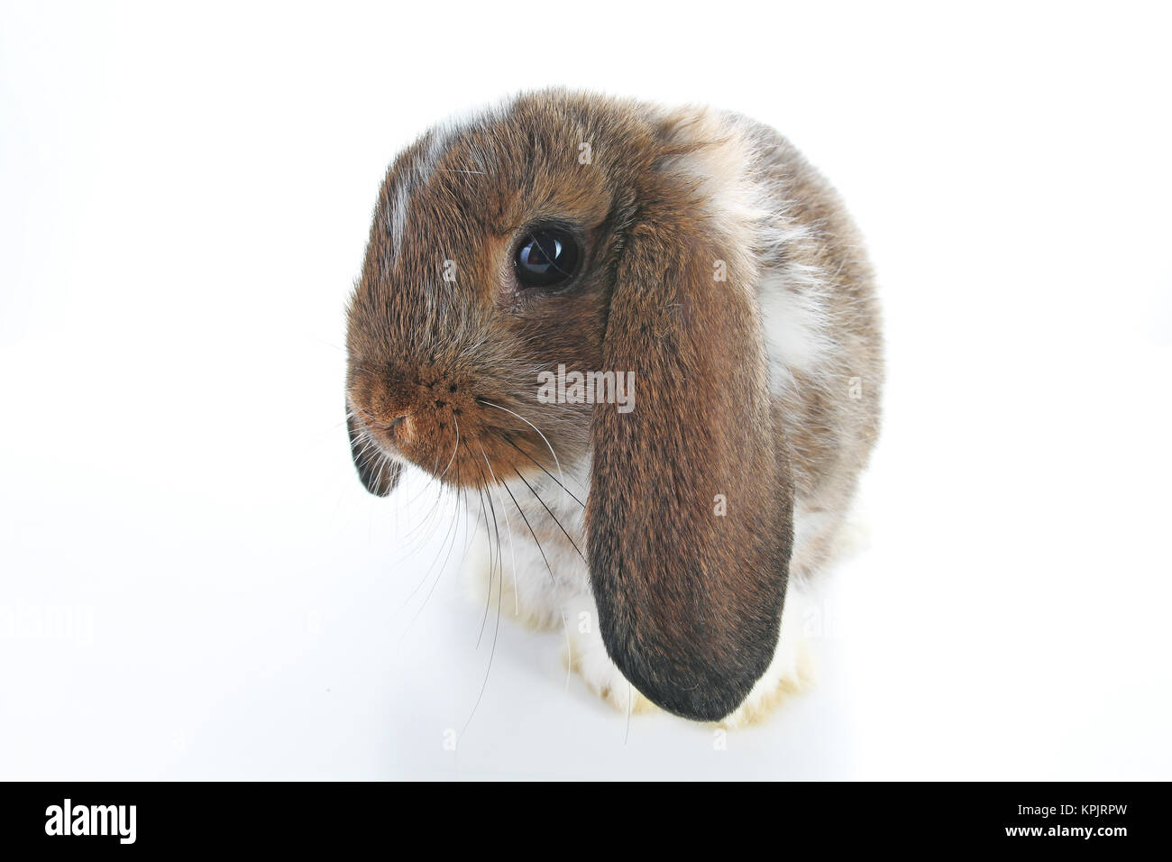Agouti pet rabbit. Lop eared brown and white agouti bunny. Rabbits. Cute animal photos on isolated white studio - Stock Image