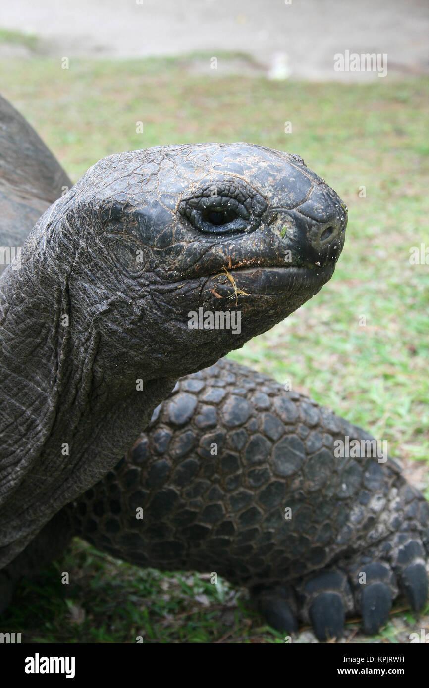 Aldabra giant tortoise (Aldabrachelys gigantea), Curieuse Island, Seychelles. - Stock Image