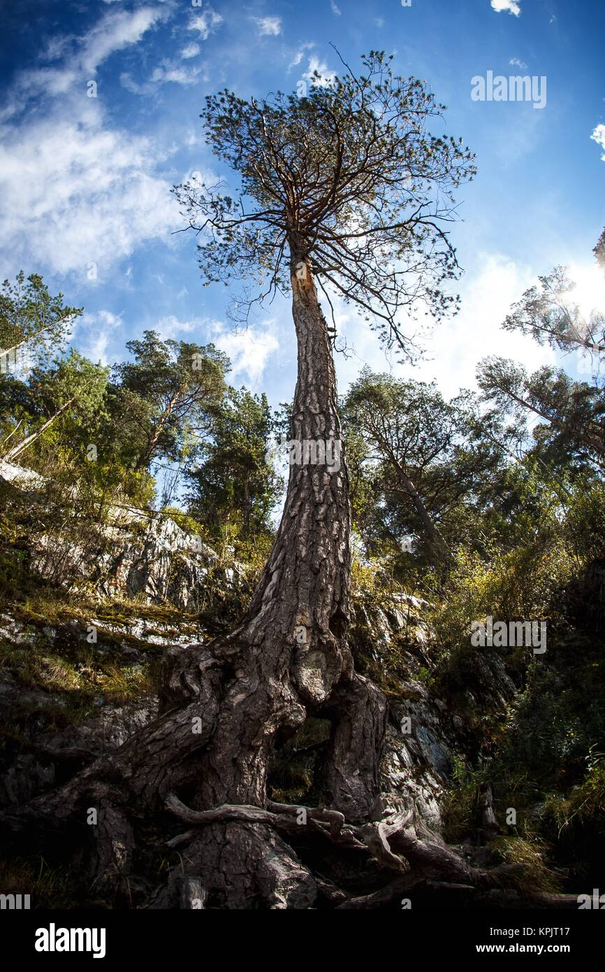 Tree whit big roots - Stock Image