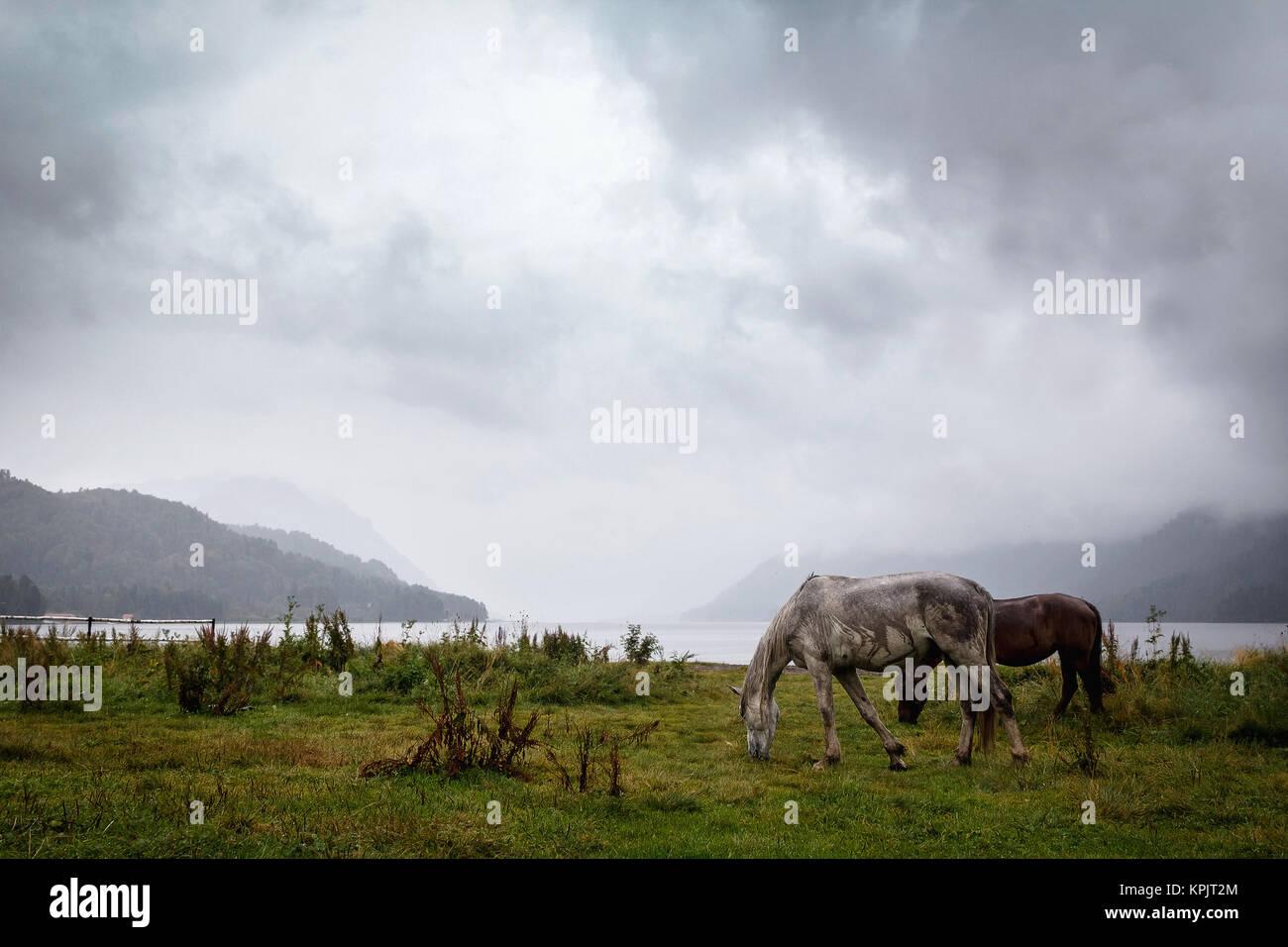 Altay horses - Stock Image
