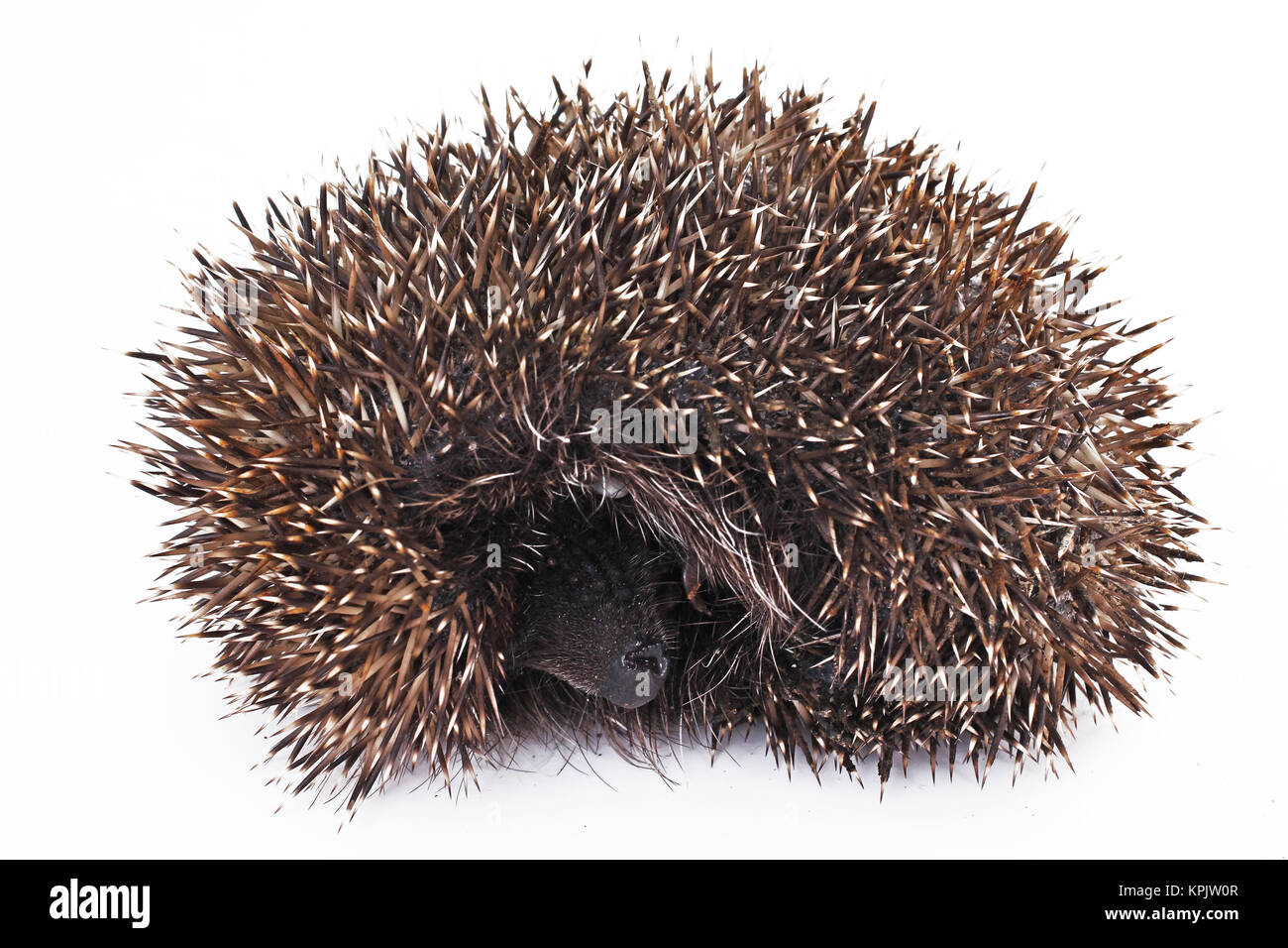 Wild Hedgehog on isolated white studio background. Closeup photo. Clipping path. Easy to use. White background. - Stock Image