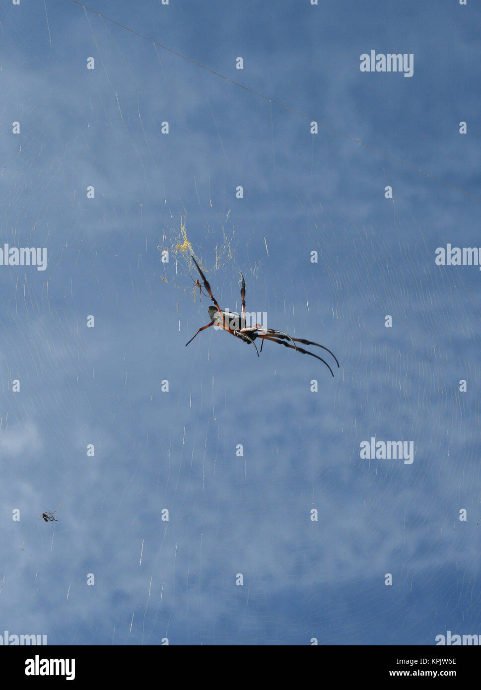 Red-legged golden orb-web spider against partially cloudy blue sky, La Digue Island, Seychelles. - Stock Image