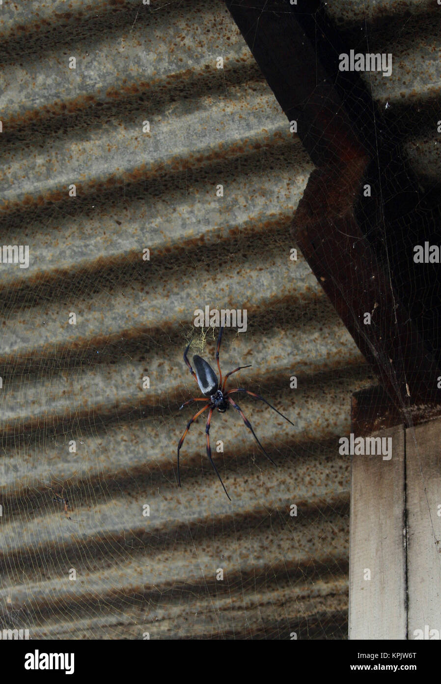 Red-legged golden orb-web spider against corrugated iron roof ceiling, La Digue Island, Seychelles. - Stock Image
