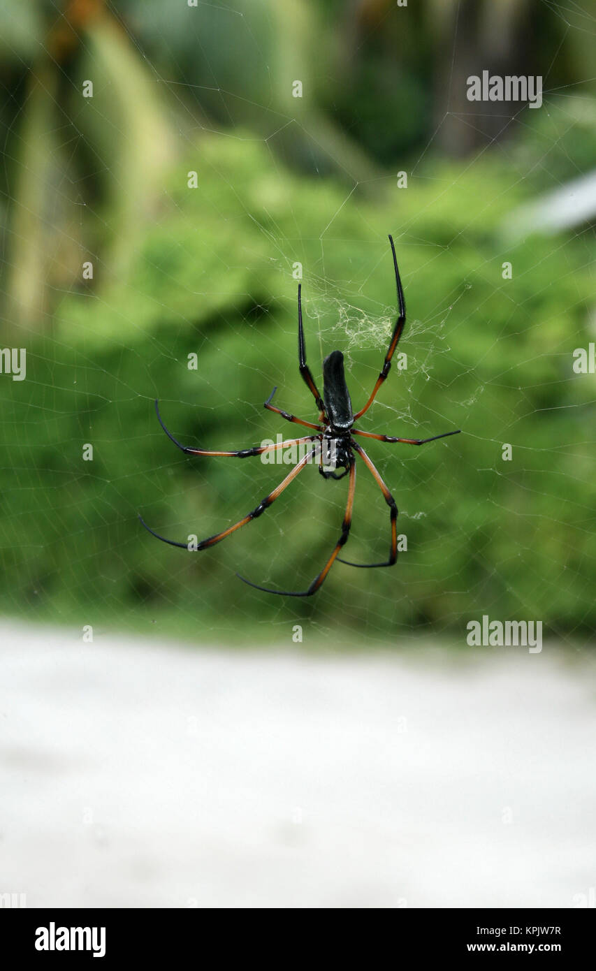 Red-legged golden orb-web spider in green field, La Digue Island, Seychelles. - Stock Image