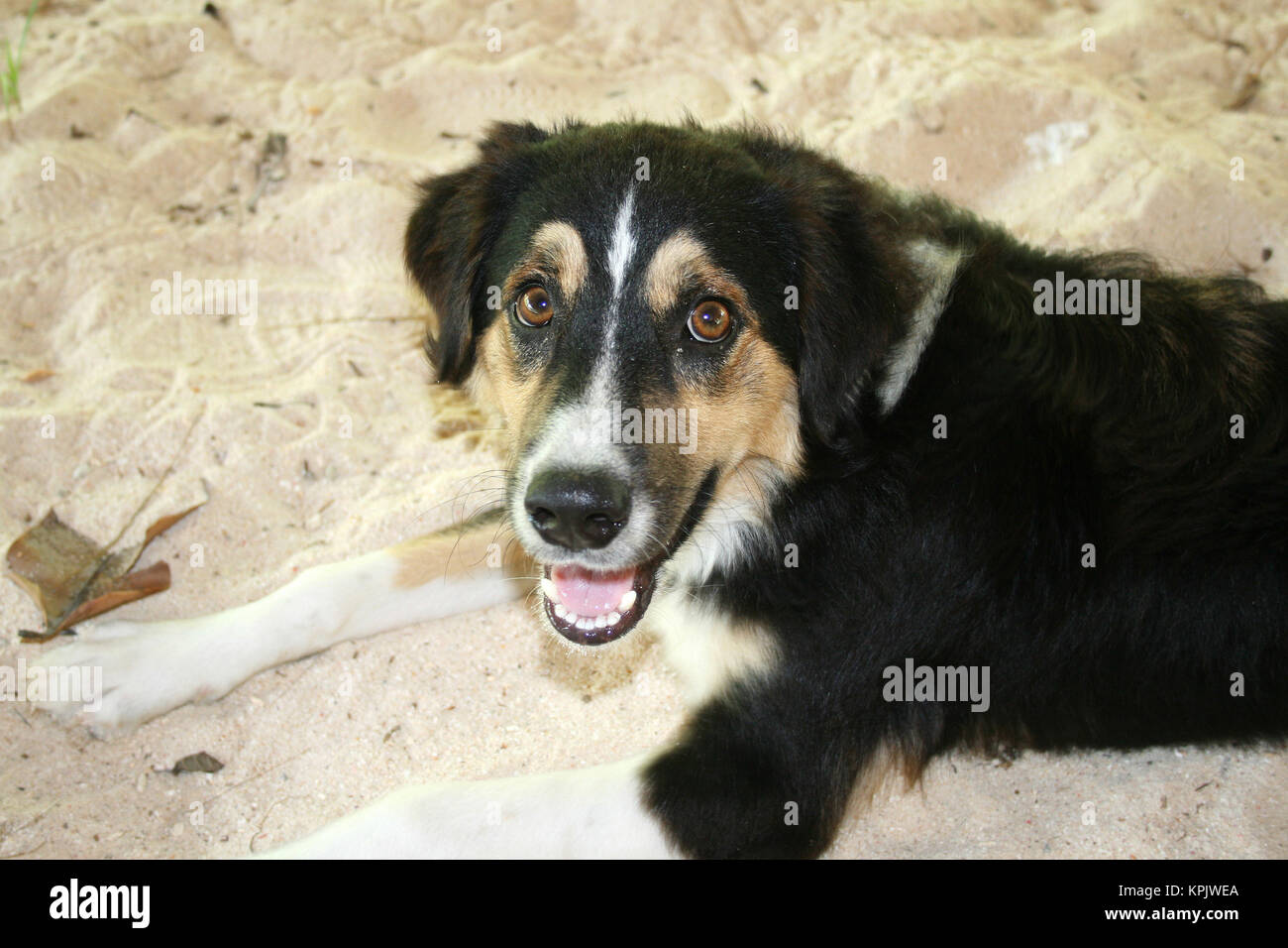 Crossbred domestic dog laying in sand, La Digue Island, Seychelles. Stock Photo