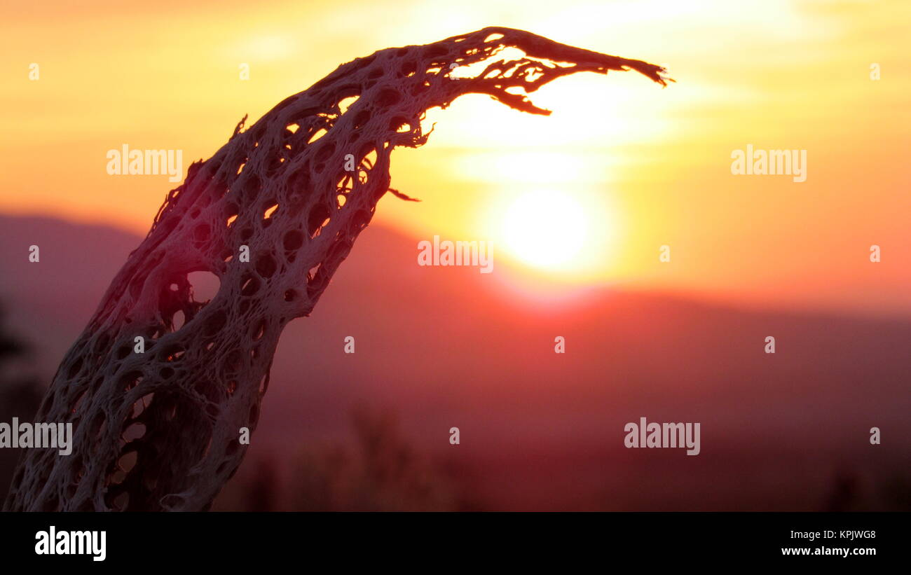 Curved dead cholla skeleton reaches towards the sunrise in the Anza-Borrego desert - Stock Image
