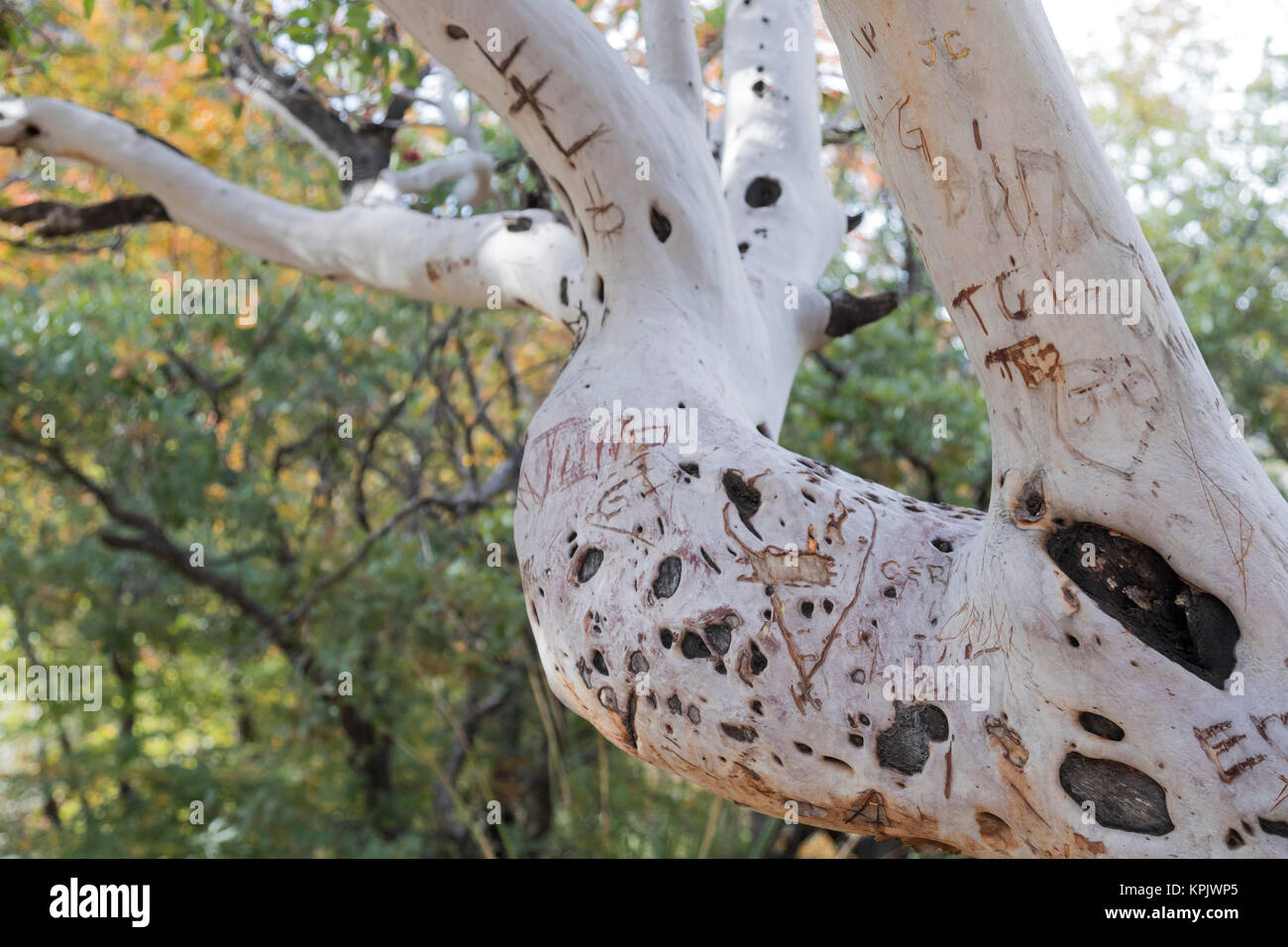 Guadalupe Mountains National Park, Texas - A defaced Texas madrone tree in McKittrick Canyon. - Stock Image