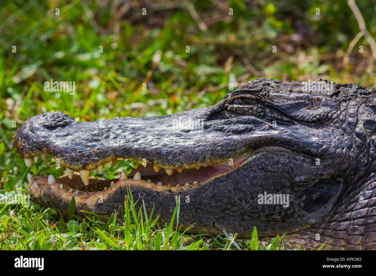 An American Alligator (Alligator mississippiensis) basks in the sun in Shark Valley, Everglades National Park; Florida, - Stock Image