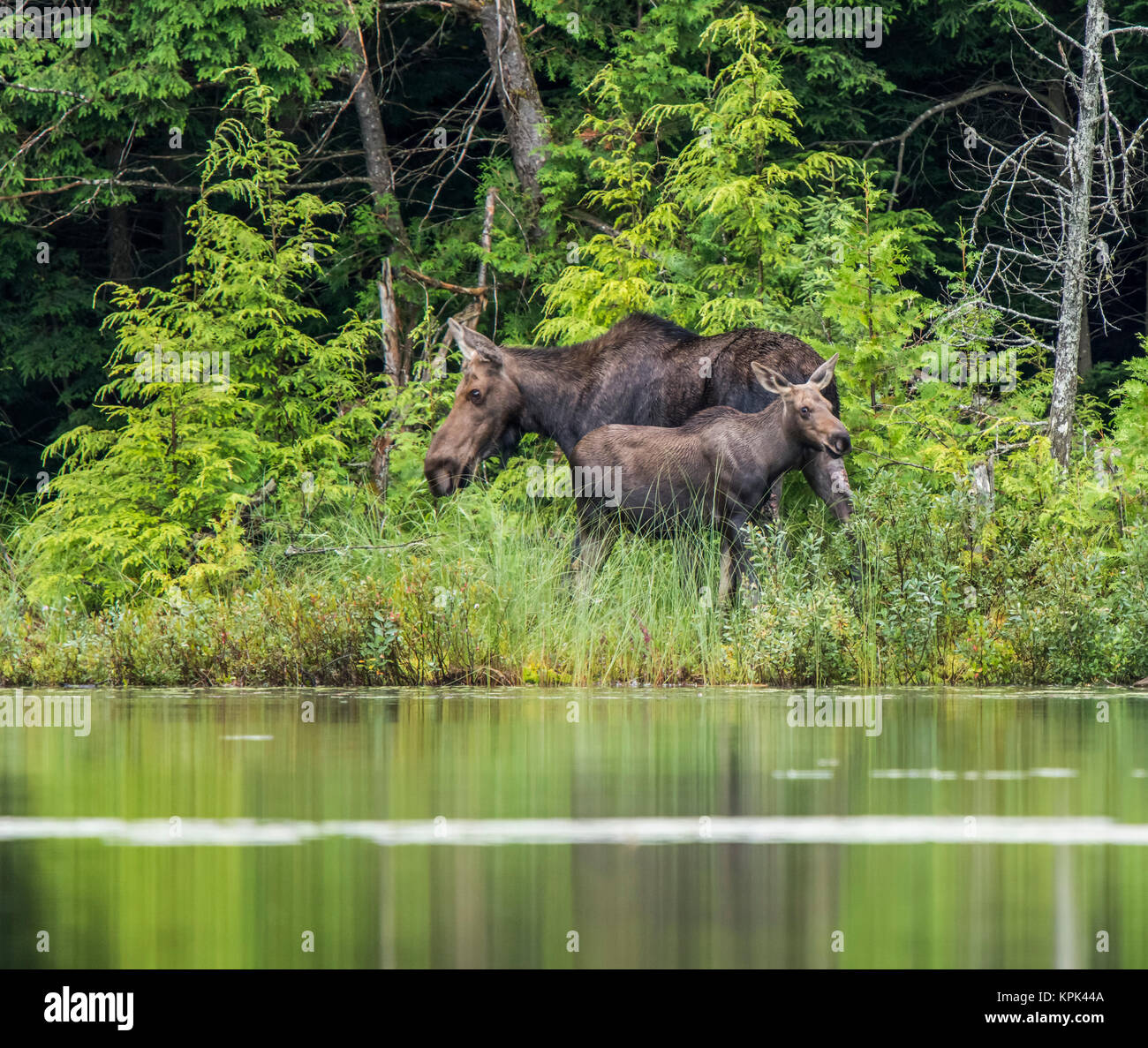 Cow and calf moose (alces alces) on the shore of a lake in Northeastern Ontario; Ontario, Canada - Stock Image