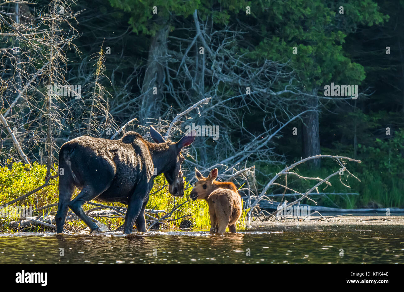 Cow and calf moose (alces alces) wading in the water along the shore of a lake in Northeastern Ontario; Ontario, - Stock Image