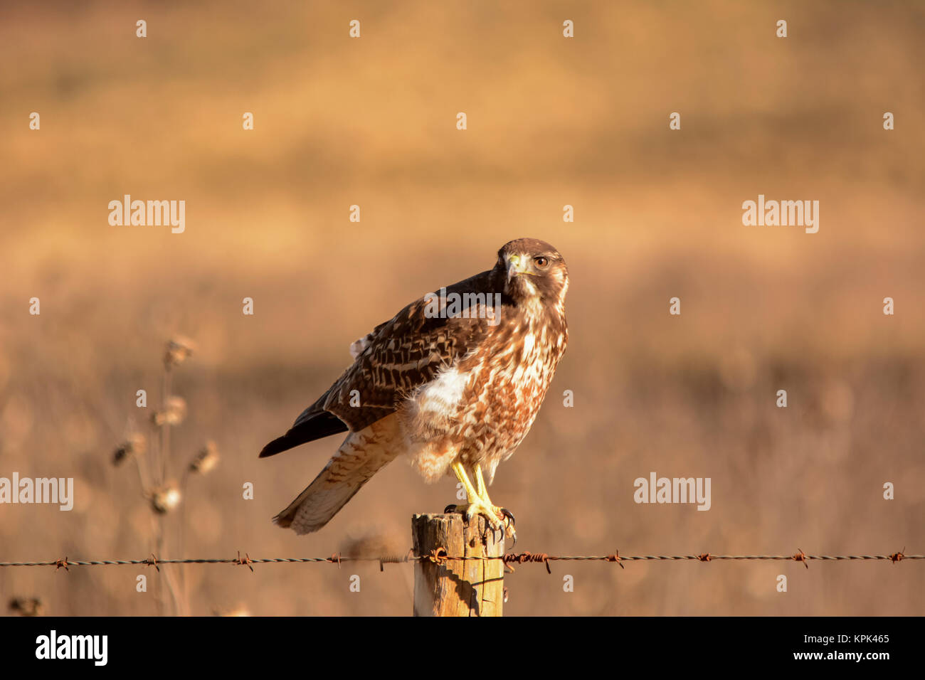 A hawk ( Accipitridae) is looking at the camera, ready to fly off from a fence post in warm sunlight; Potrerillos, - Stock Image