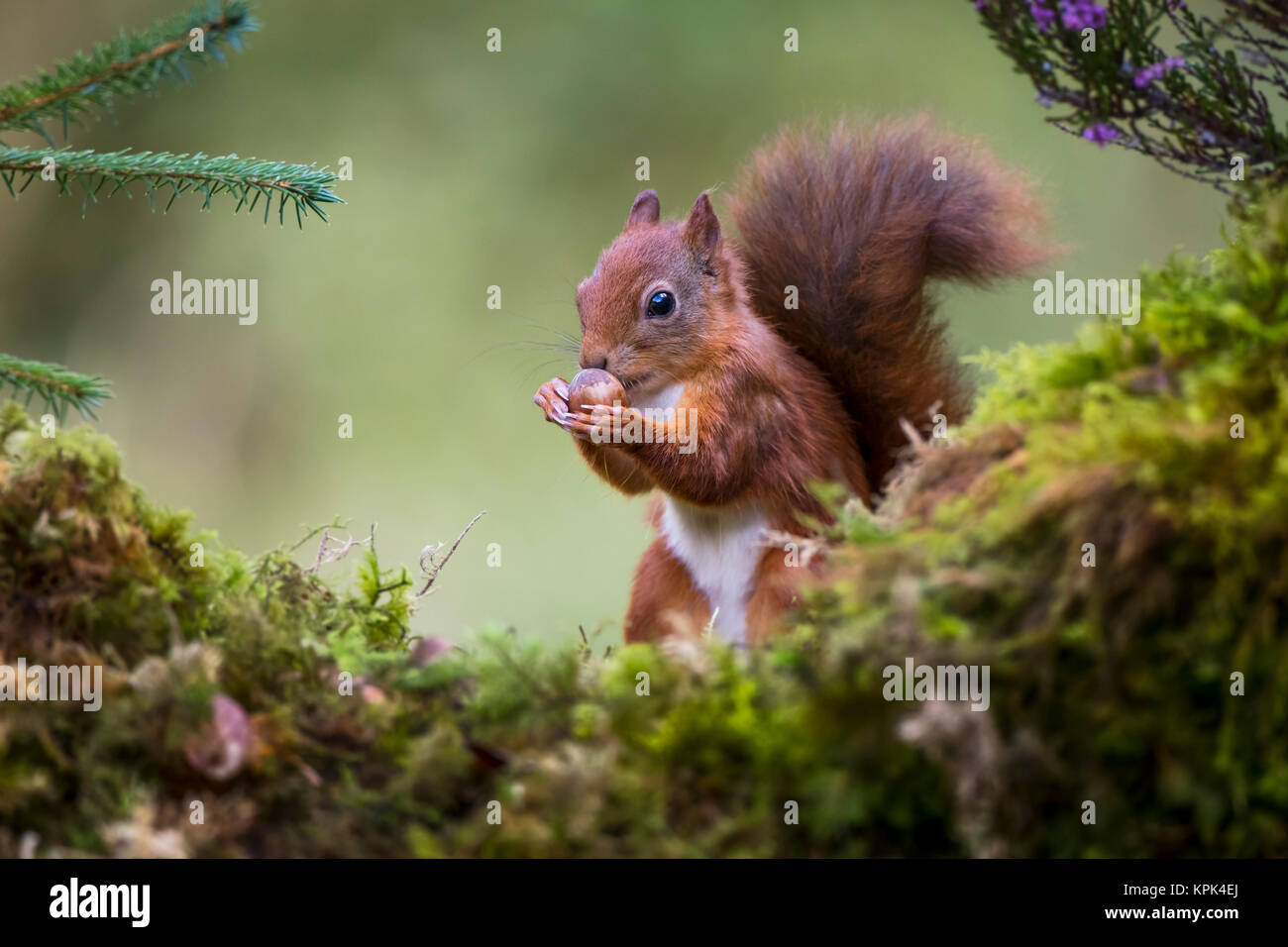 Red Squirrel (Sciurus vulgaris) eating a nut from it's hands while standing on a moss covered rock; Dumfries - Stock Image