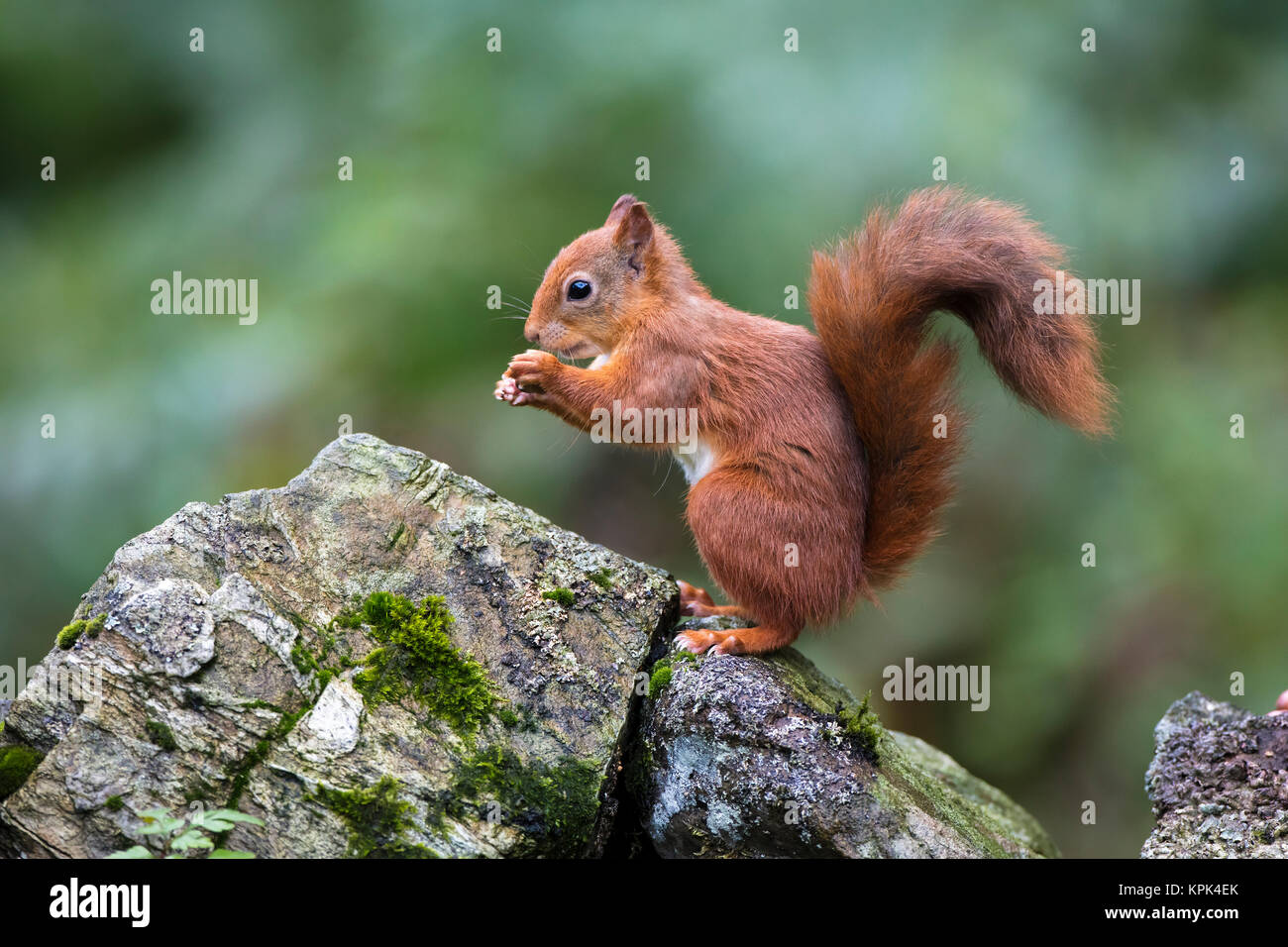 Red Squirrel (Sciurus vulgaris) eating from it's hands while standing on a moss covered rock; Dumfries and Galloway, Stock Photo