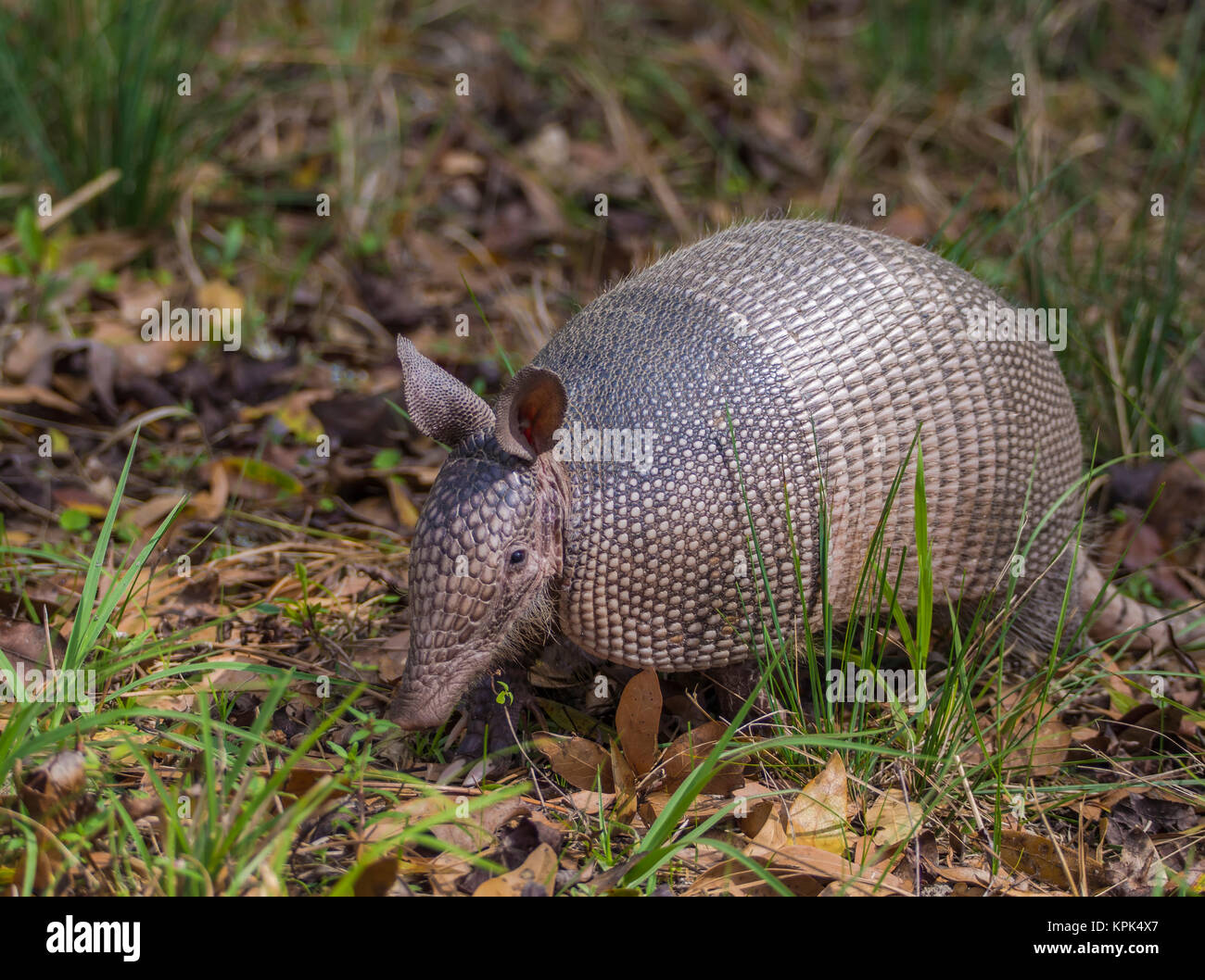 Nine-banded Armadillo (Dasypus novemcinctus) wandering among the brush in a transitional zone near a forest; Florida, - Stock Image