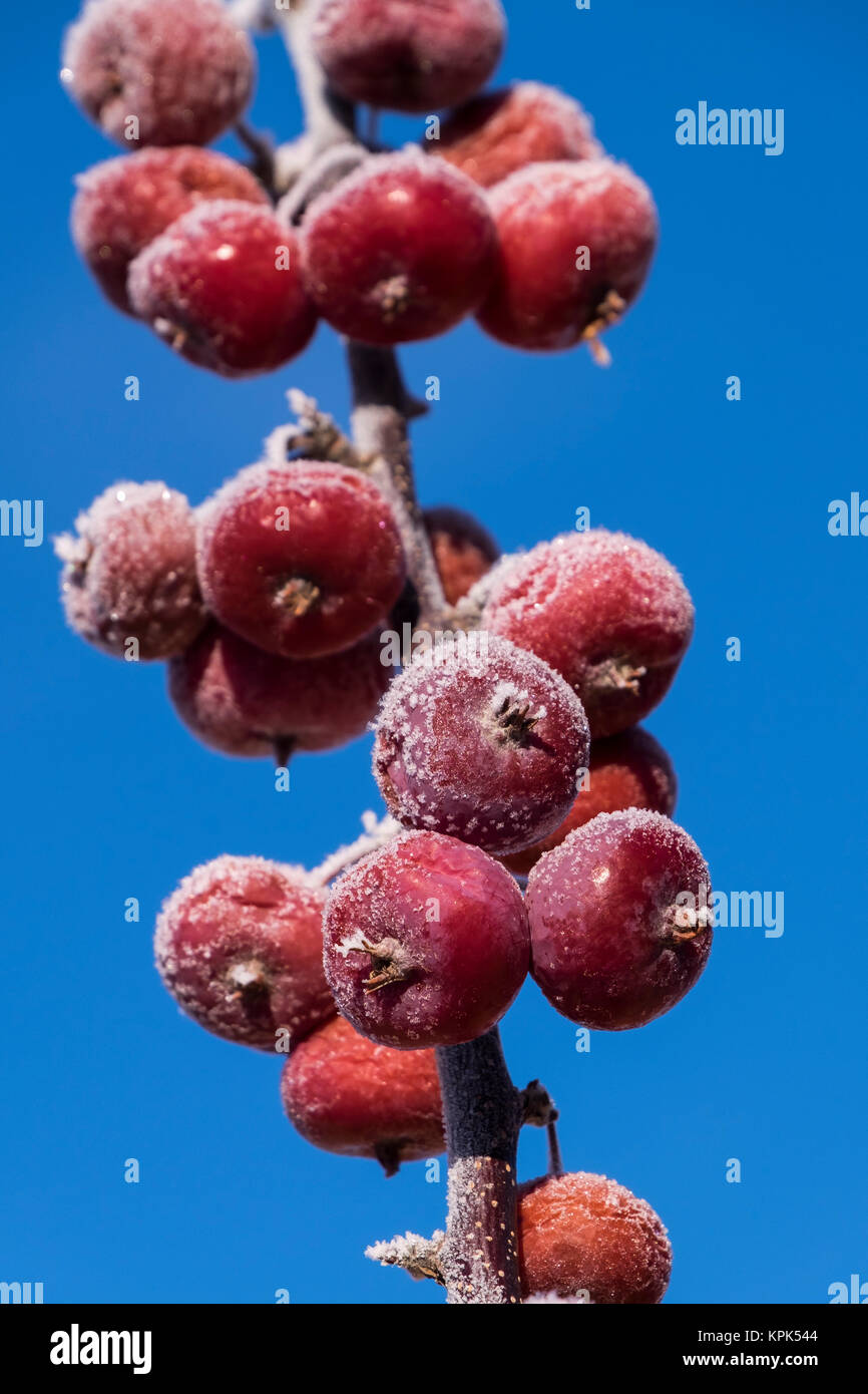 Purple Spire Columnar Crab Apples on a branch covered in hoar frost against a blue sky; Stony Plain, Alberta, Canada Stock Photo