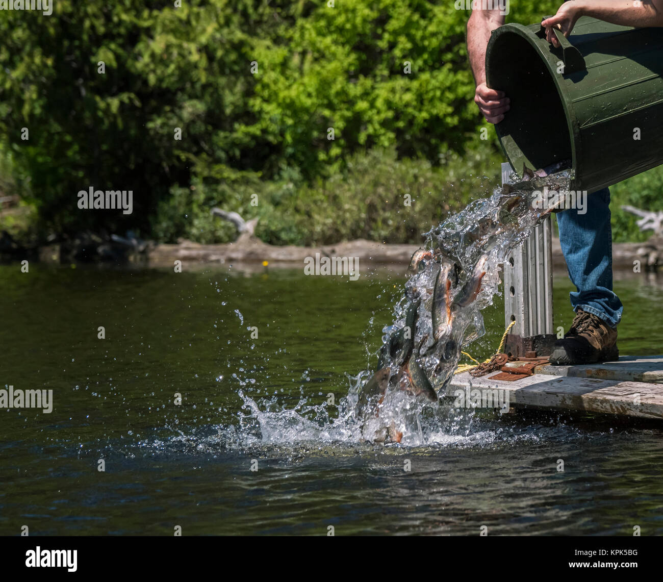 A man pours Speckled Trout (Salvelinus font) out of large pail to stock a lake; Redbridge, Ontario, Canada - Stock Image