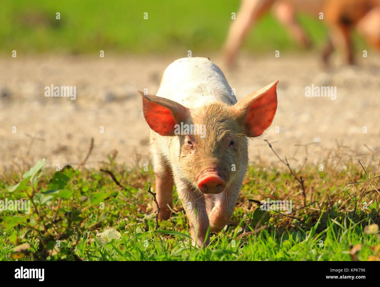Cute piglet - Stock Image