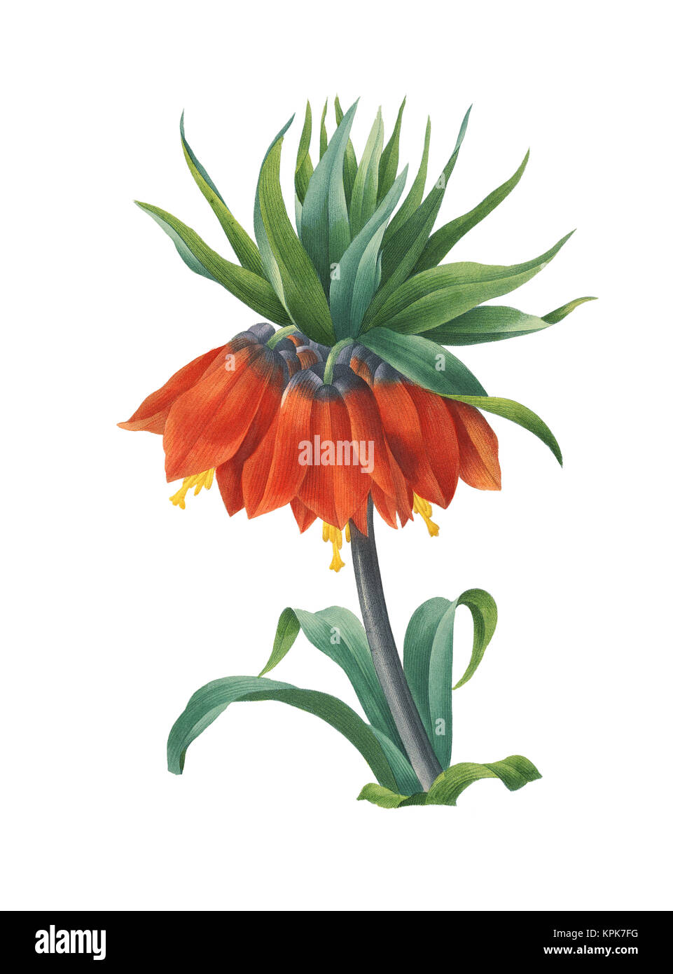 Vintage illustration of a Fritillaria imperialis also known as Crown imperial or Kaiser's crown. Engraving by - Stock Image