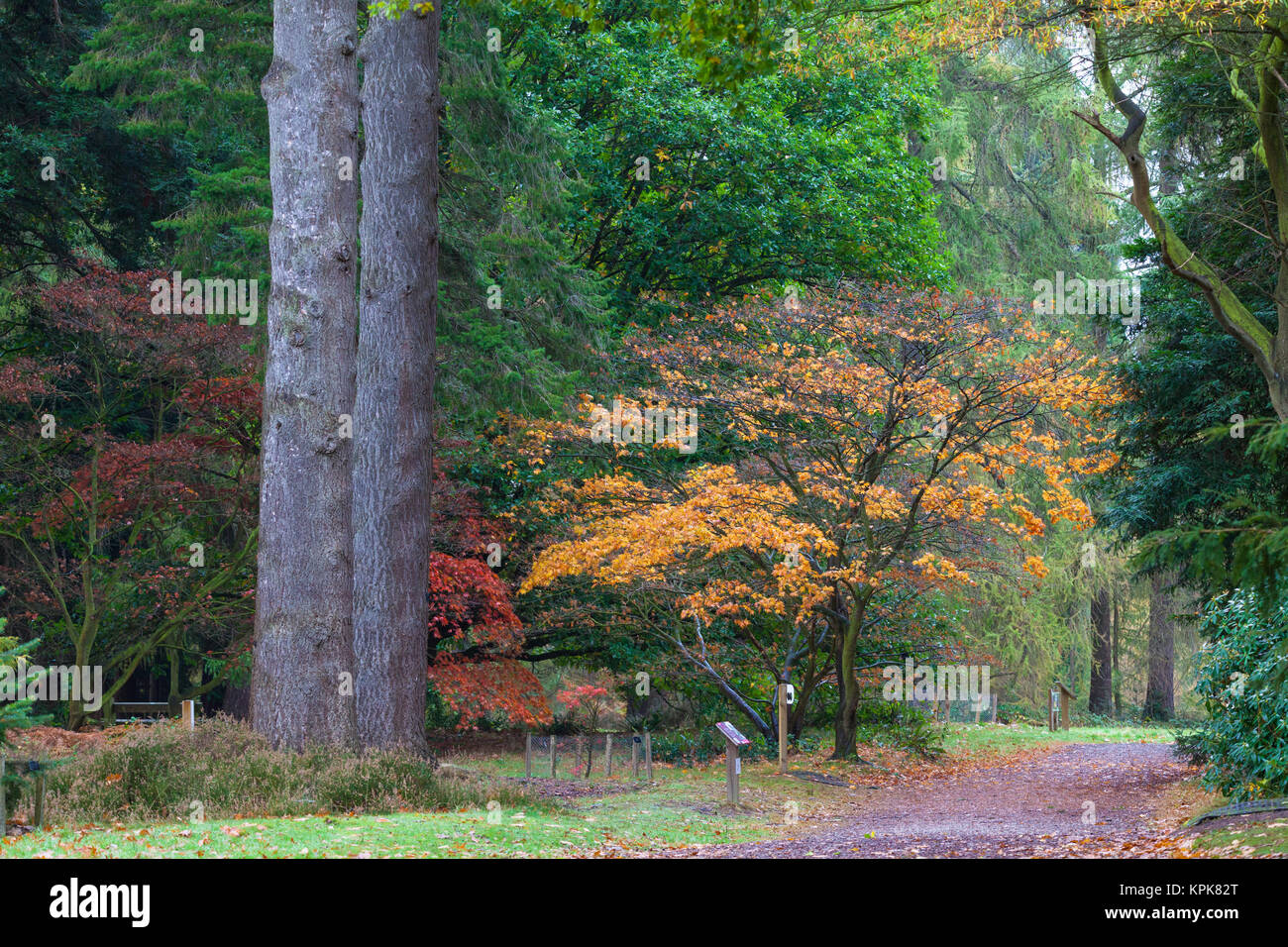 Bedgebury National Pinetum and Forest, Lady Oak Lane, Goudhurst, kent, uk. Autumn scene - Stock Image