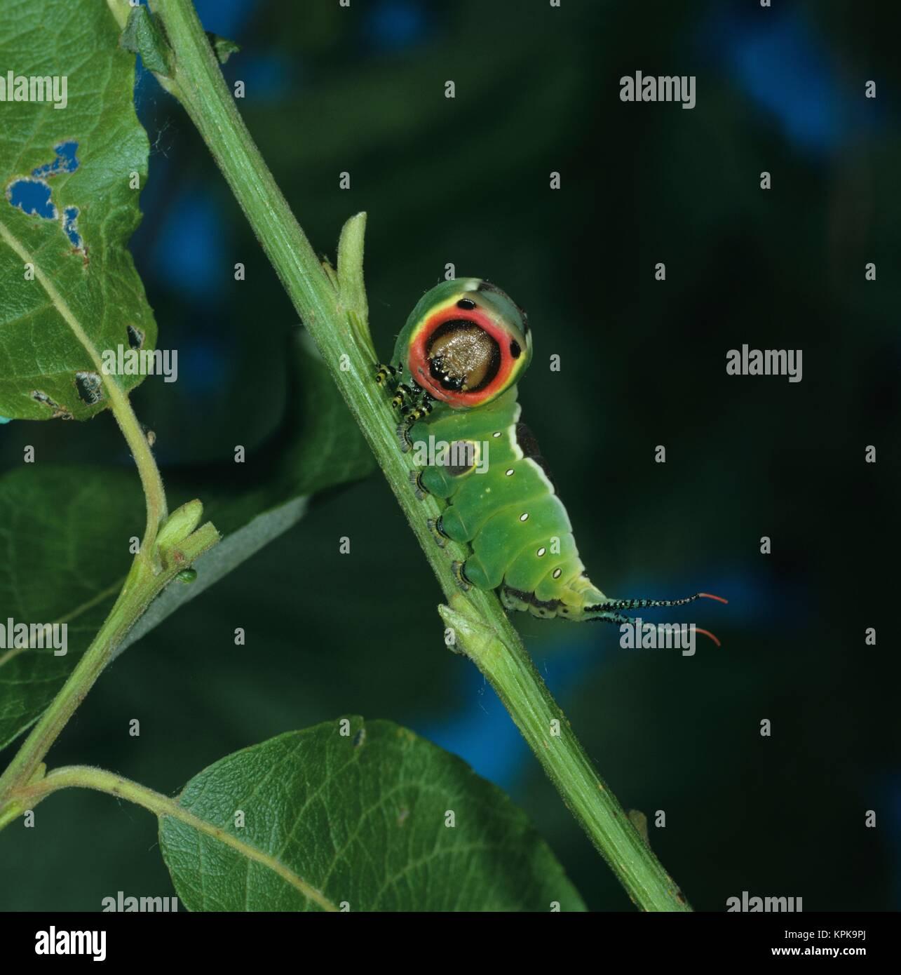 Erwachsene Raupe des Gabelschwanzfalters in Drohstellung zur Abwehr von Fressfeinden. Sie wird etwa 70mm lang und - Stock Image