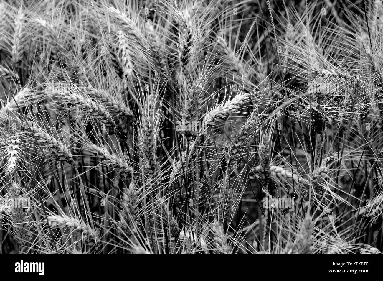 Wheat field, black and white, in rural landscape in France - Stock Image
