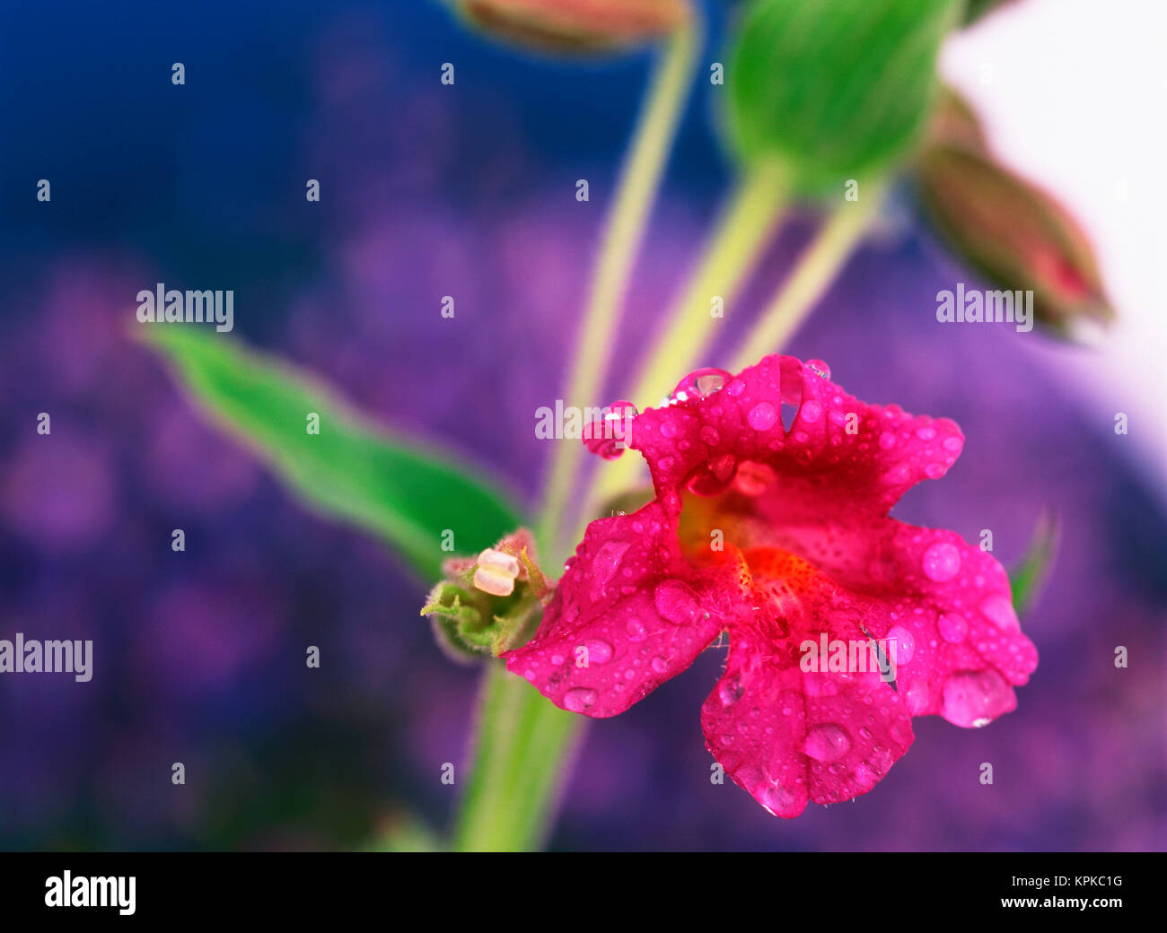Pink Monkey Flower And Lupine Stock Photos Pink Monkey Flower And