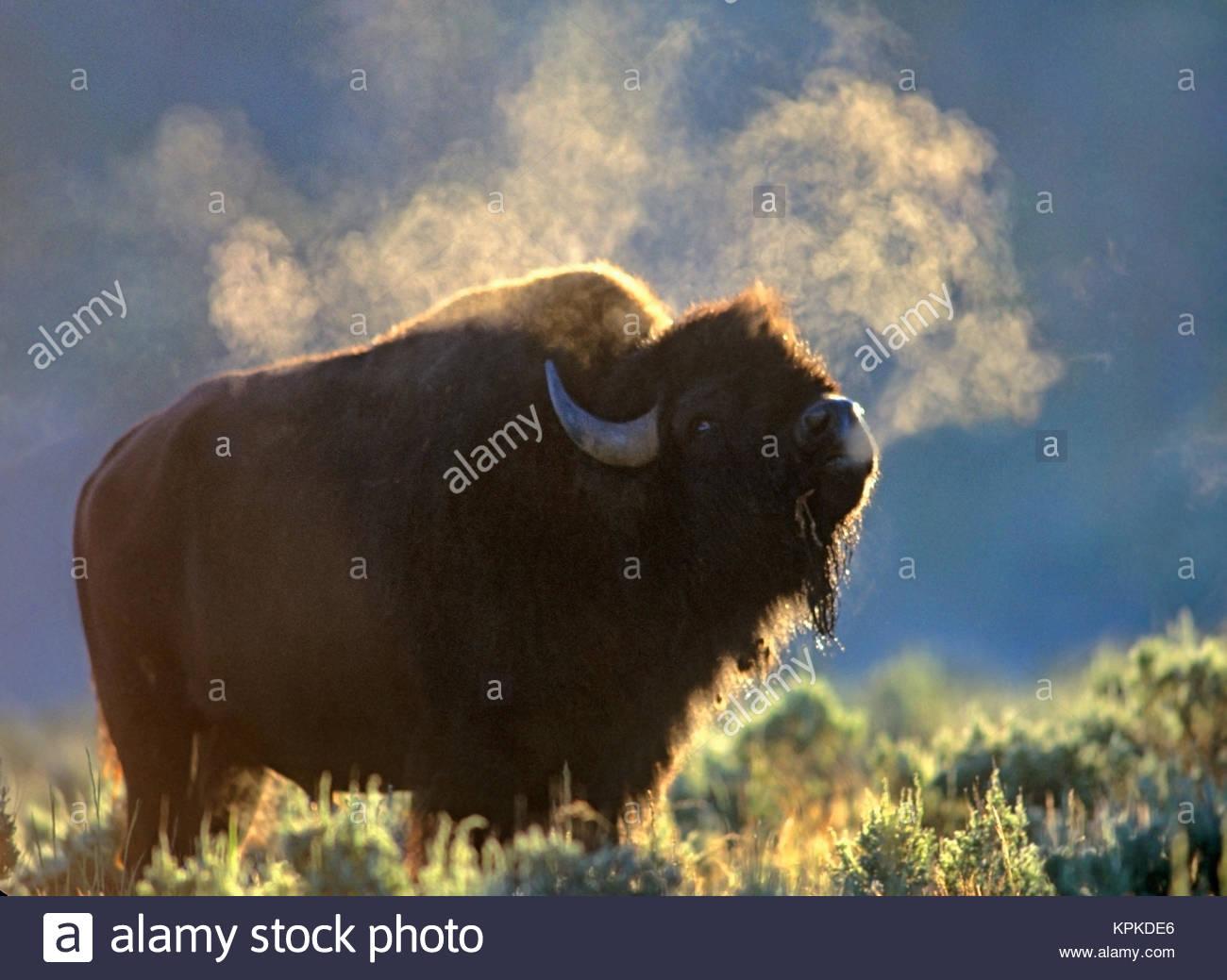 Bison (Bison bison) bellows in the morning, Wyoming, USA - Stock Image
