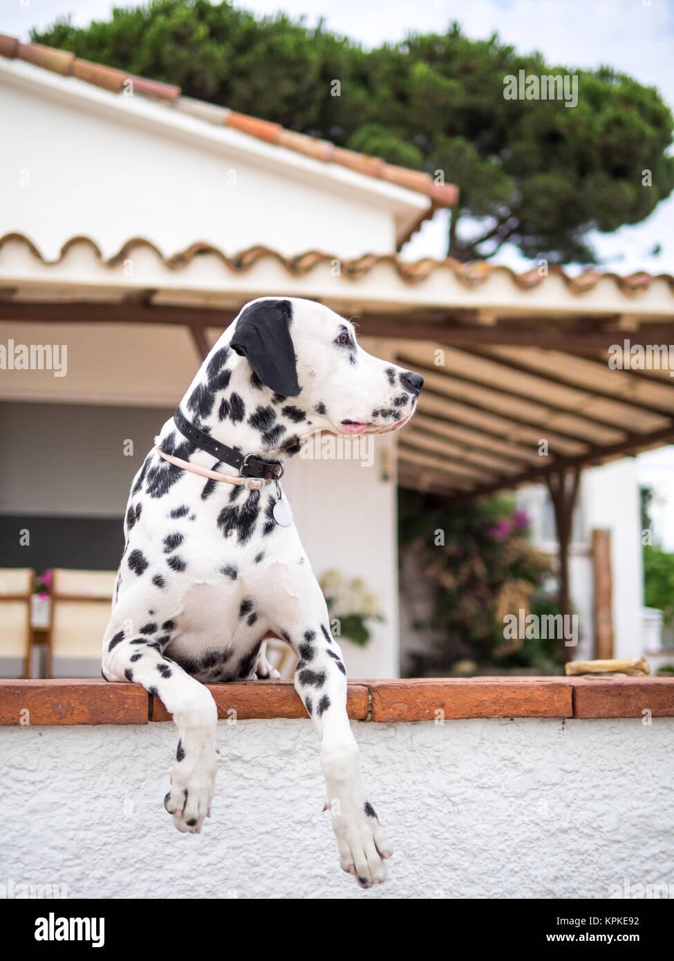Dalmatian Keeper - Stock Image