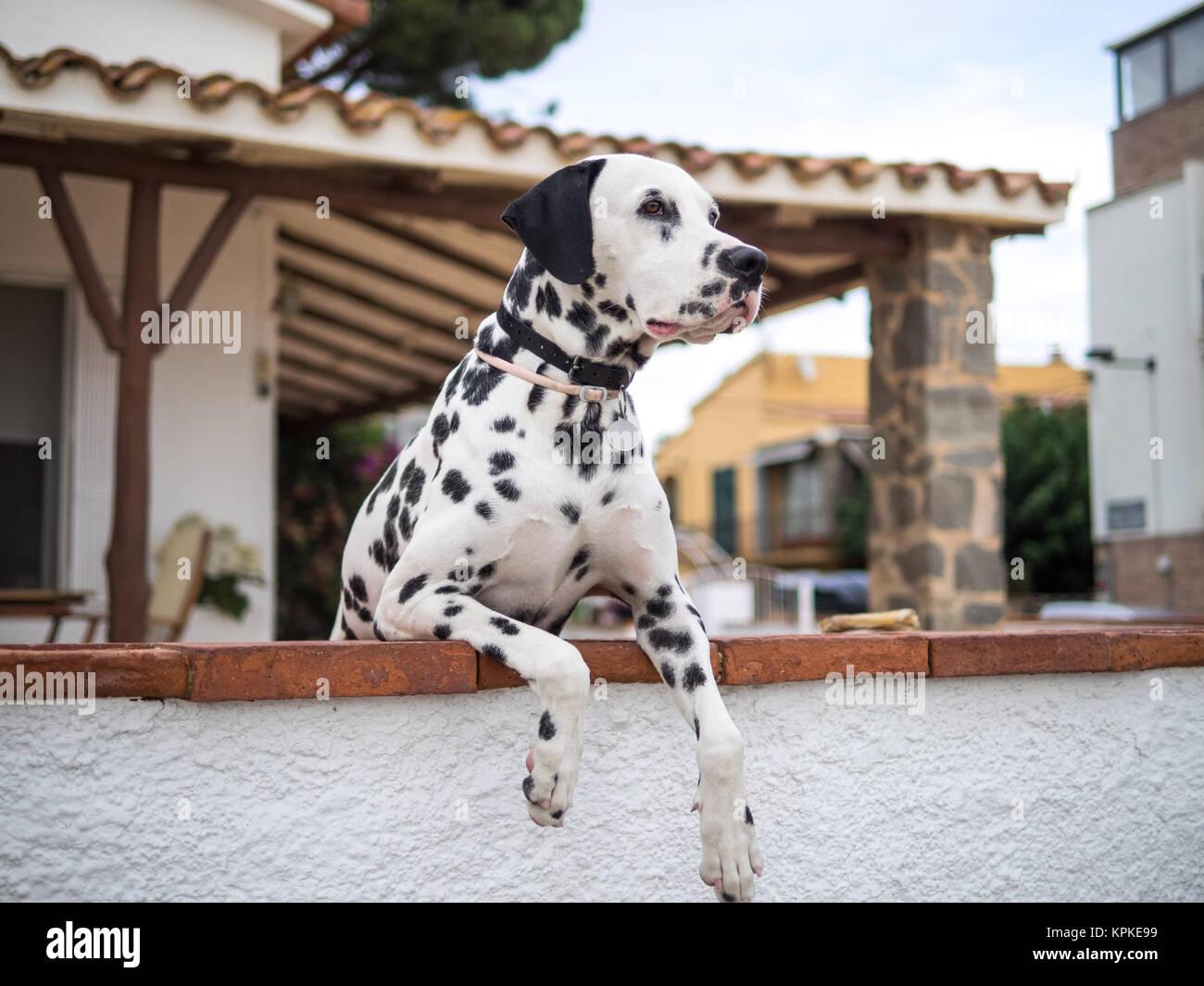 Dalmatian Eyes - Stock Image