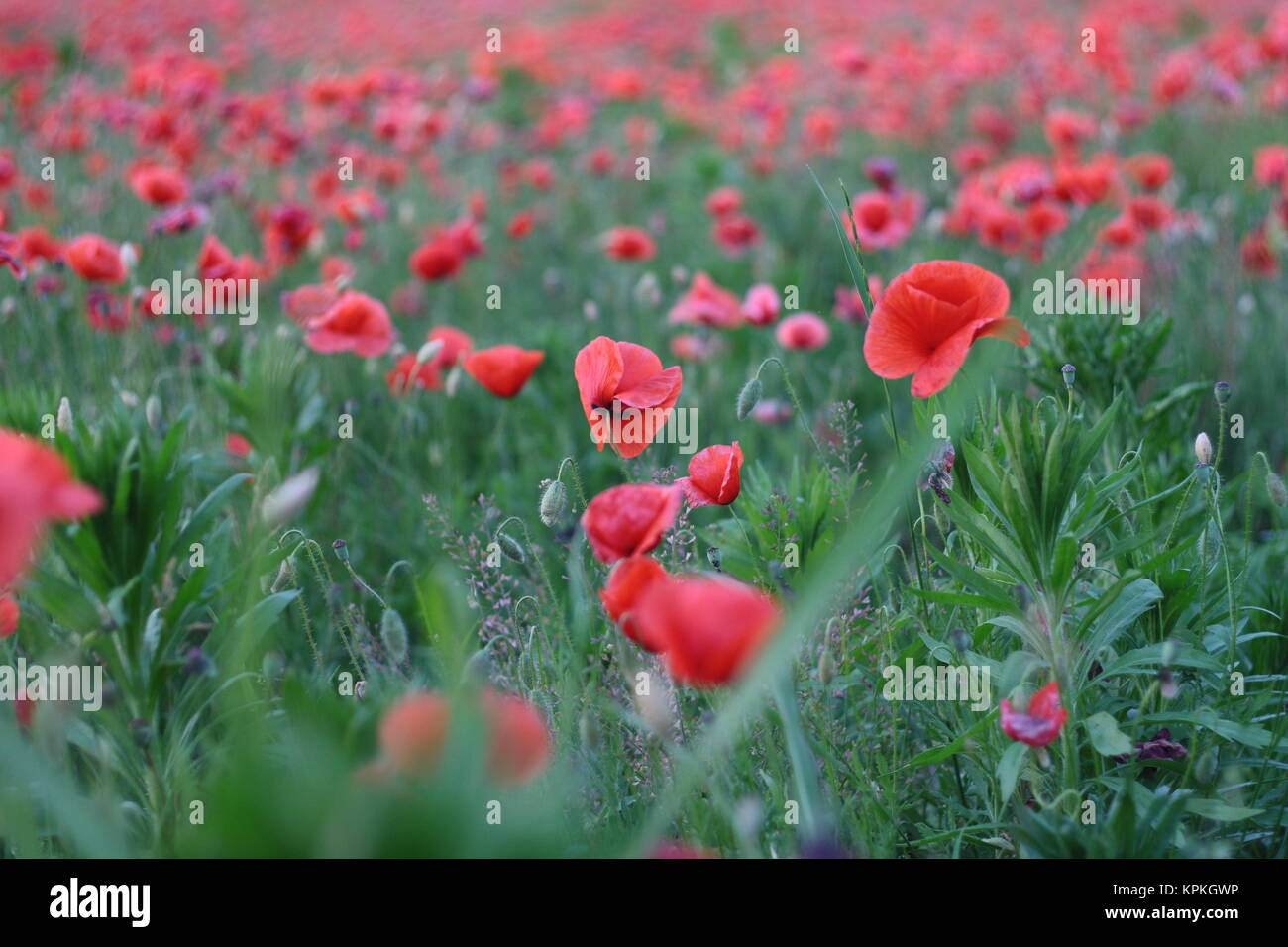 poppy field wallpaper stock photos & poppy field wallpaper stock