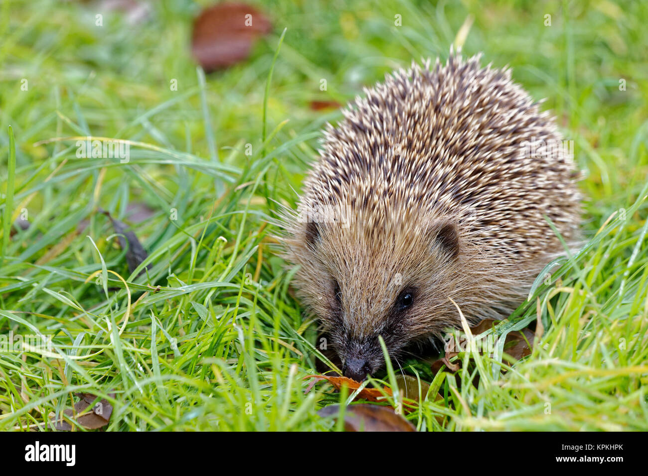 Eure et loir, France. 6th Dec, 2017. Close-up of a hedgehog (Erinaceus europaeus) walking through the grass in Eure - Stock Image
