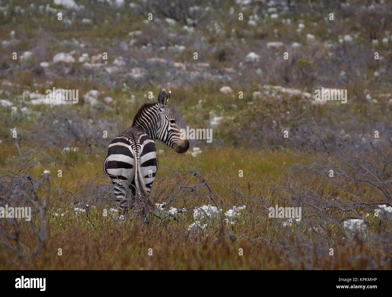 Mountain zebra (Equus zebra) in Cape Point National Park, Cape Town, South Africa. - Stock Image
