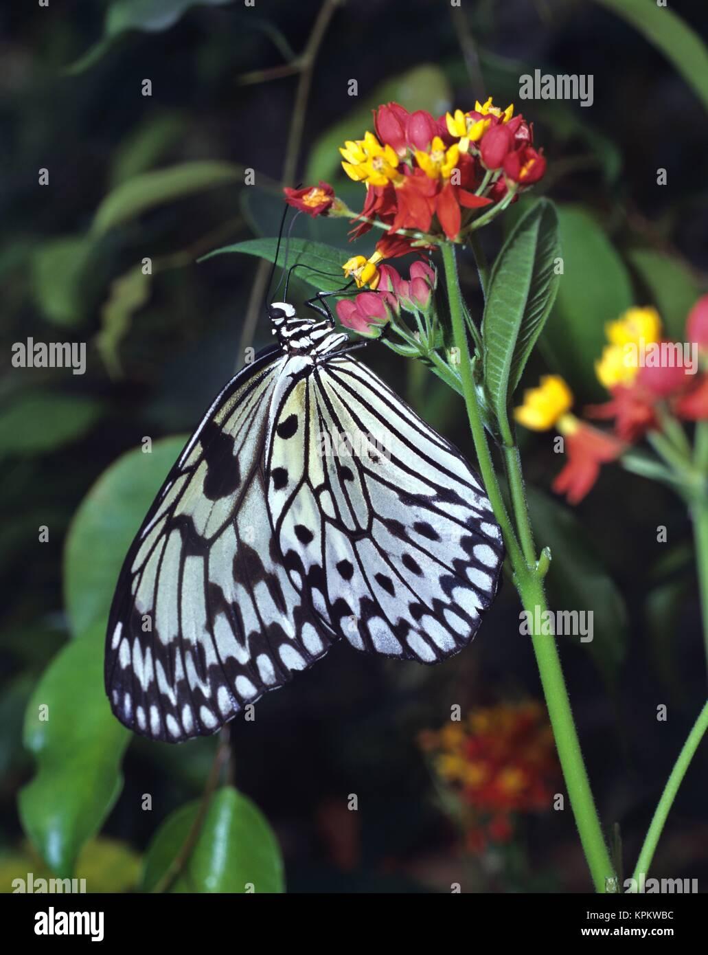 Eine weisse Baumnymphe,  Schmetterling, sitzt an  Blüten, Nektar saugend, mit  geöffneten Flügeln. Ein tropischer Tagfalter. Stock Photo