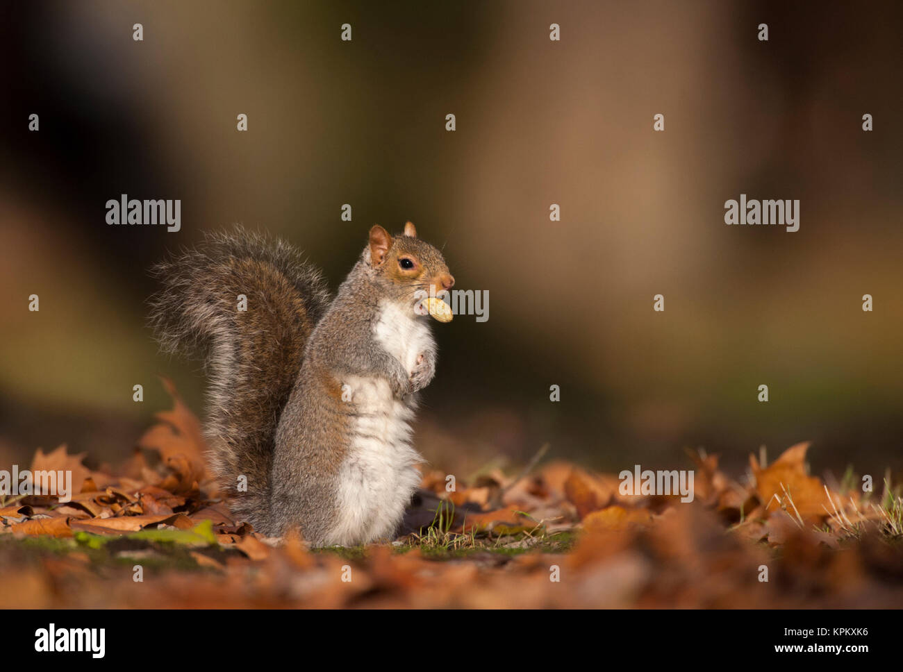Grey Squirrel or Eastern Gray squirrel, (Sciurus carolinensis), Regents Park, London, United Kingdom Stock Photo