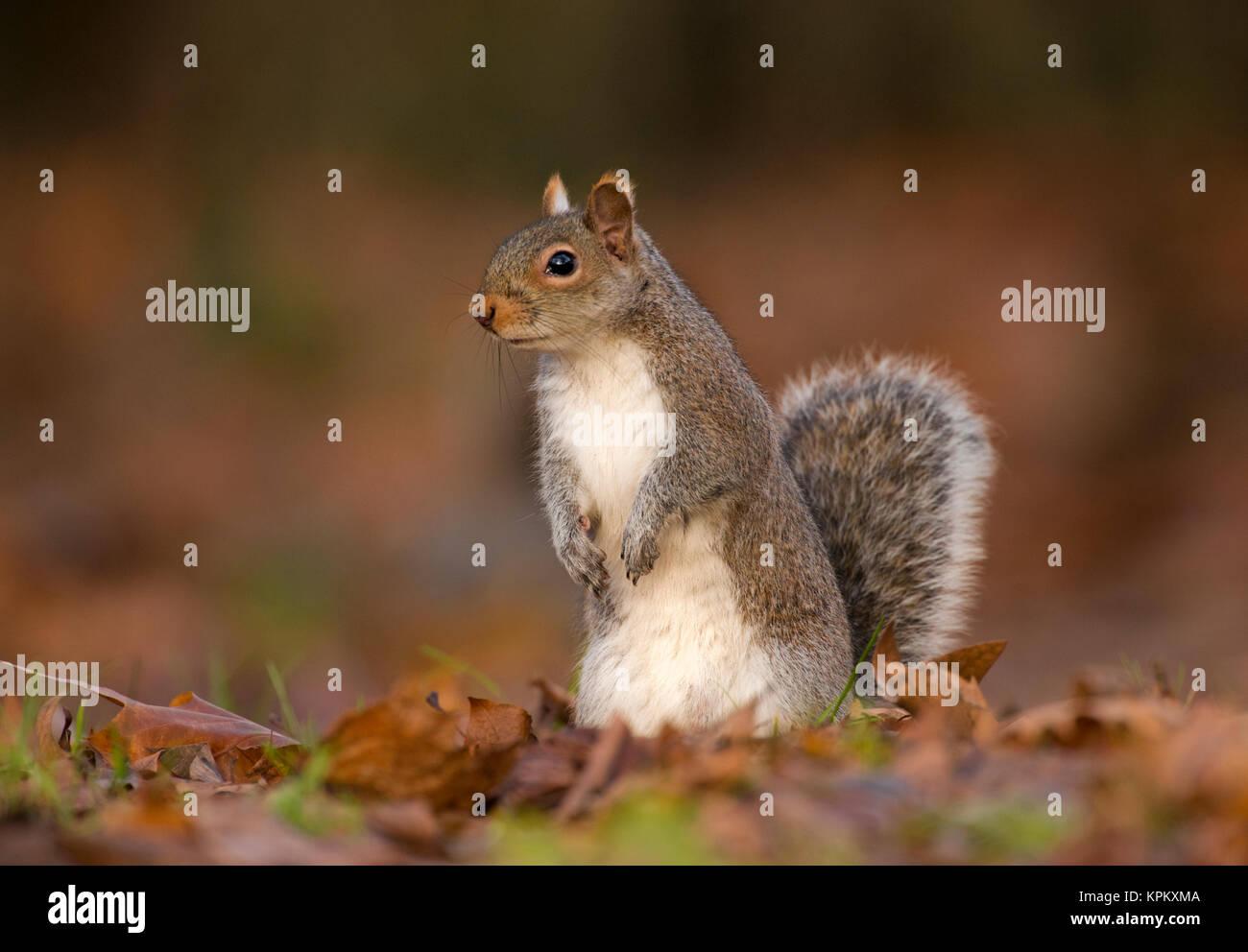 Grey Squirrel or Eastern Gray squirrel, (Sciurus carolinensis), Regents Park, London, United Kingdom - Stock Image