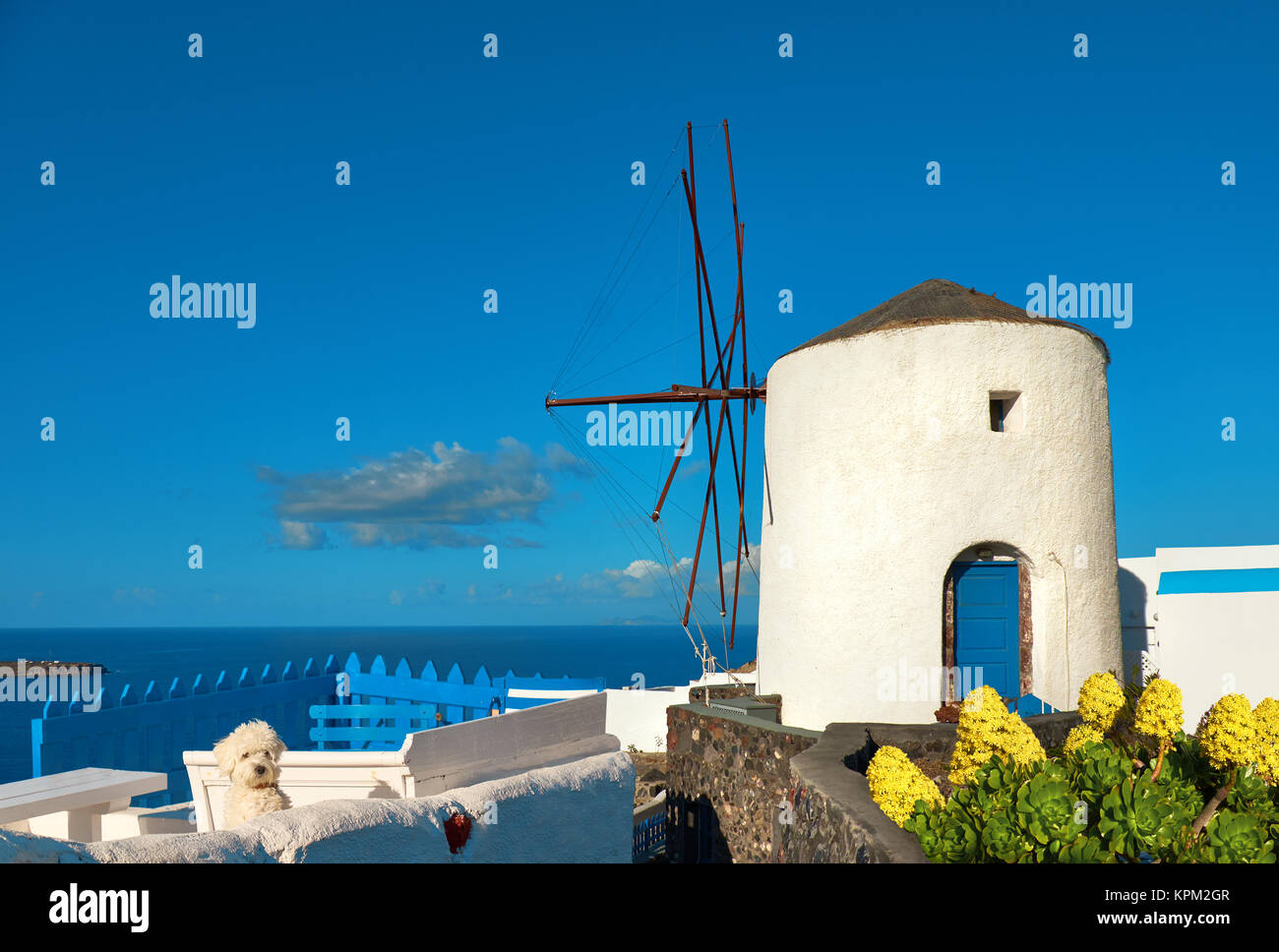 Curious white lapdog on white terrase by historical windmill in Oia, Santorini, Greece - Stock Image