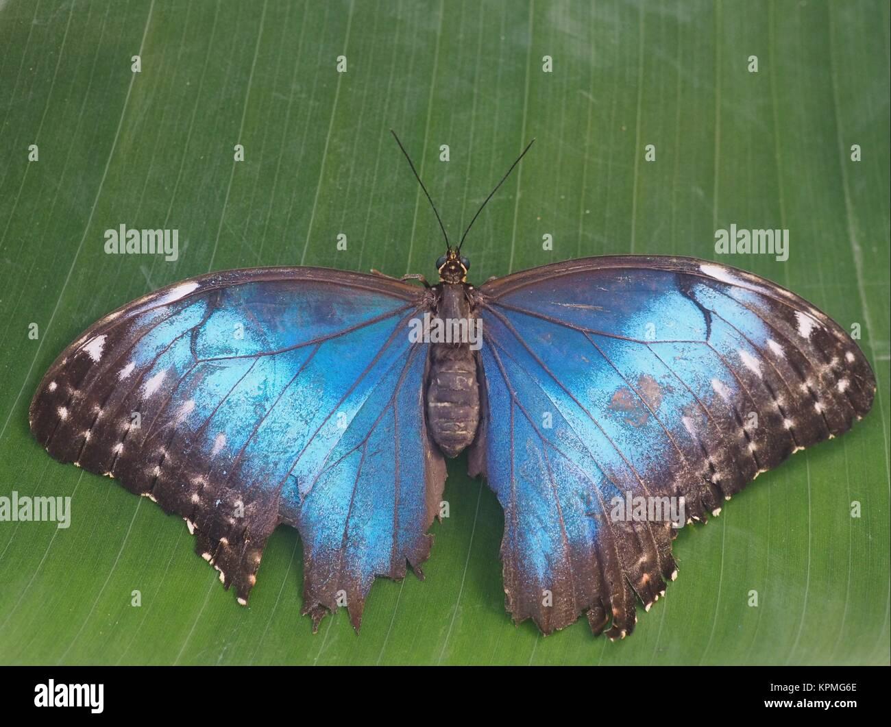 blue morpho - Stock Image