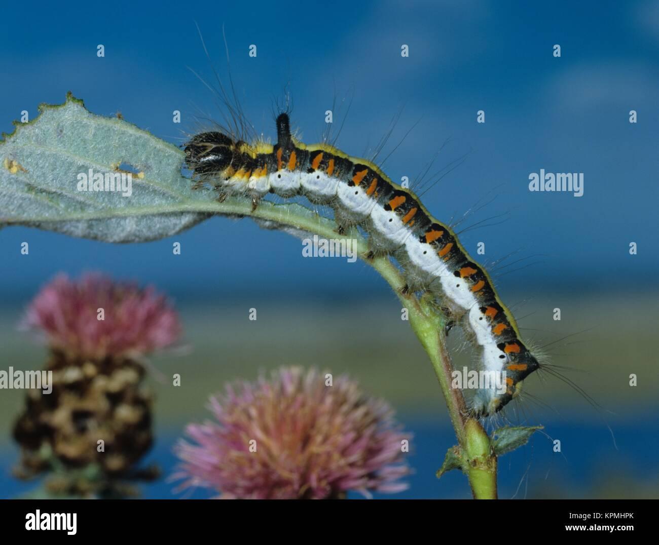 Raupe der Pfeileule, an Salweide fressend, Schmetterling, ein Nachtfalter - Stock Image