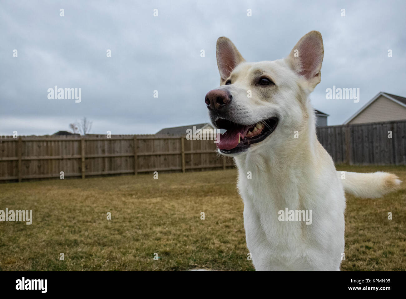 white german shepherd waiting patiently for his owner to throw the ball - Stock Image