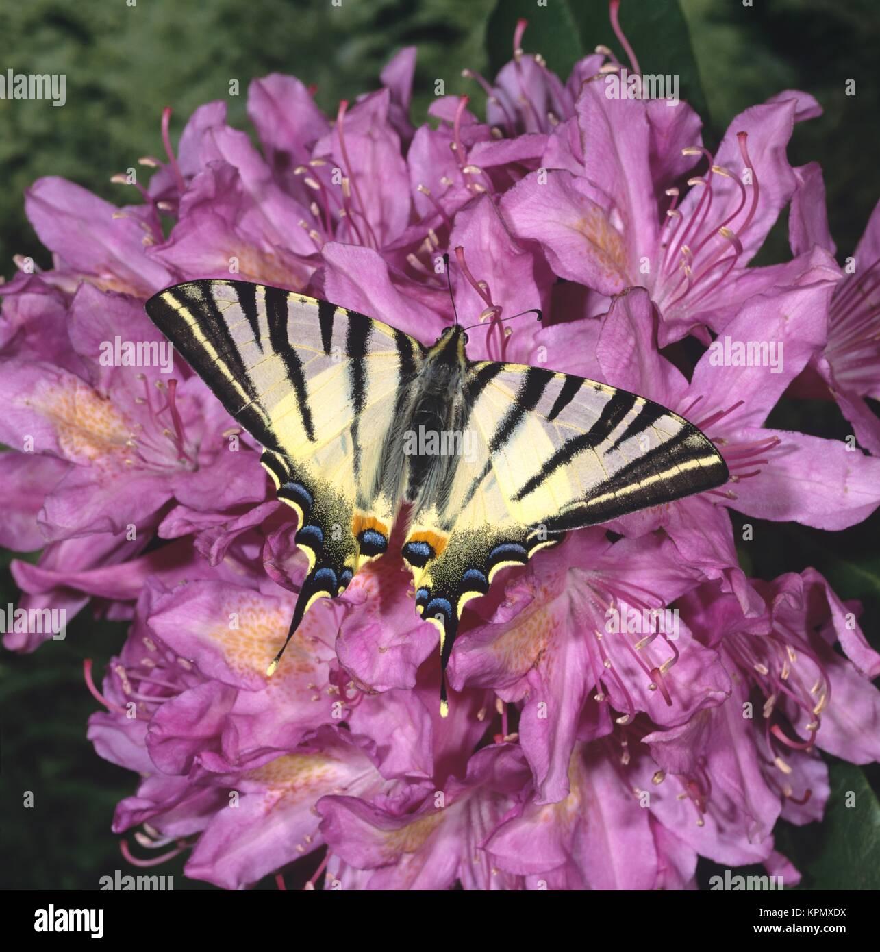 Segelfalter, Iphiclides podalirius, Scarce Swallowtail, Tagfalter mit geöffneten Flügeln auf rosa Blüten Stock Photo