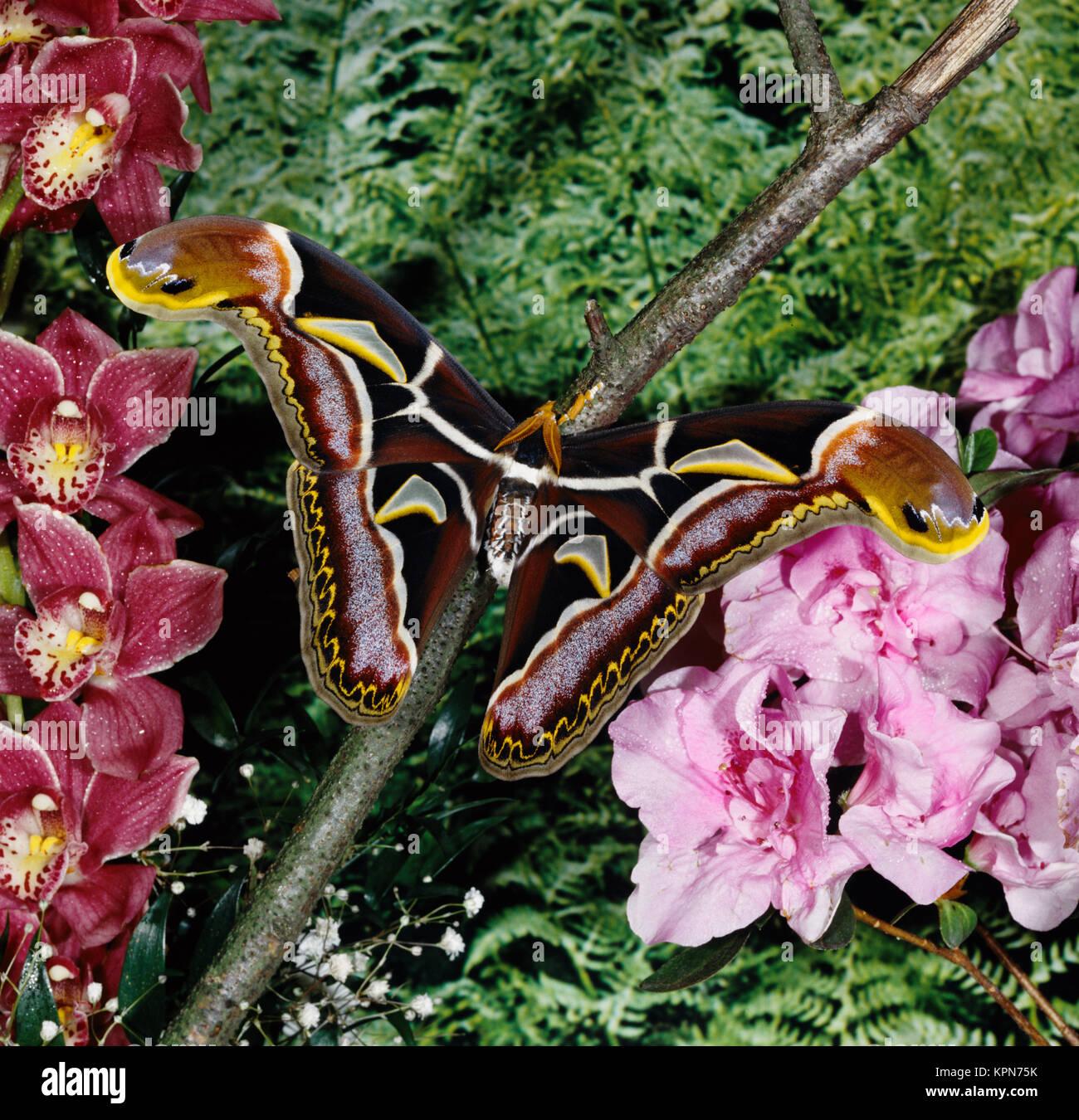 Atlasfalter, Attacus edwardsii, Nachtfalter, einer der größten Schmetterlinge der Erde, Spannweite bis über 250 mm, männlicher Falter, die Flügelspitzen imitieren Schlangen- köpfe, zur Abwehr von Fressfeinden. In Tälern am  Himalaja und Nordindien. Stock Photo