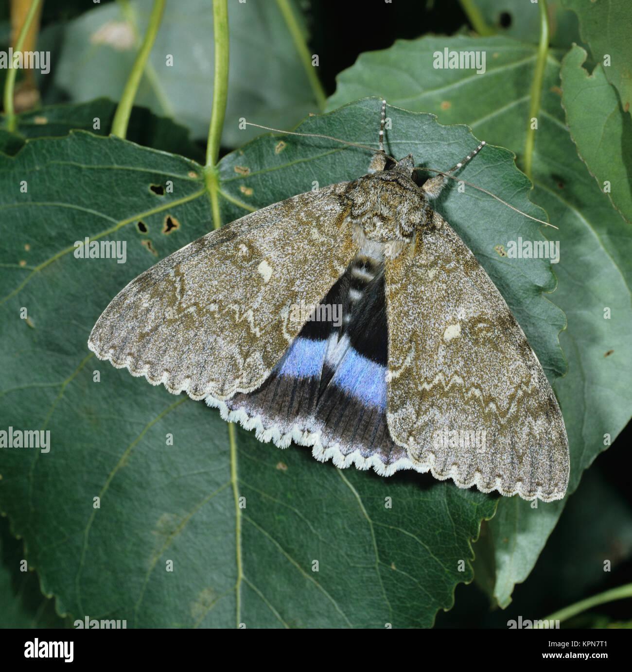 Blaues Ordensband an Pappelblatt. Ein sehr seltener, großer Nachtfalter.                                                                                                                                                                                                                                                                                                                                                                                                                                                                                                                                                 Stock Photo