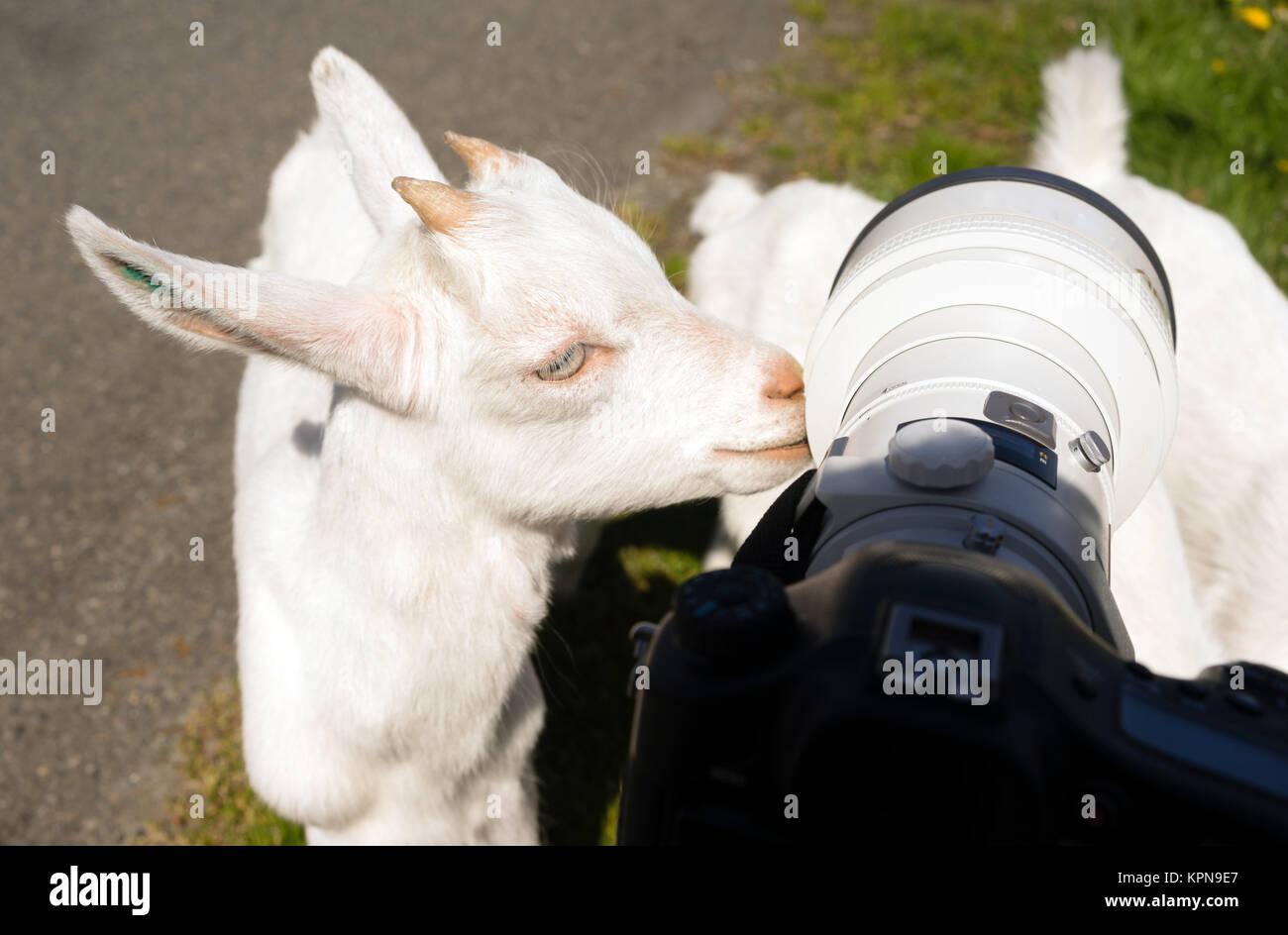 https://c8.alamy.com/comp/KPN9E7/newborn-animal-albino-goat-explores-camera-long-zoom-lens-KPN9E7.jpg