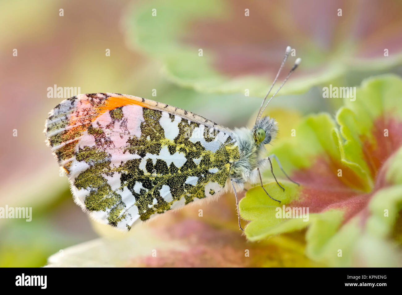 Male orange-tip butterfly - Stock Image