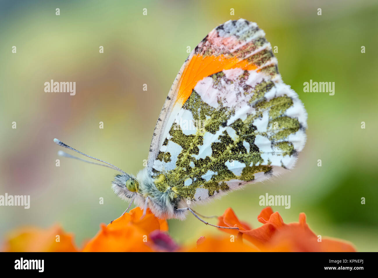 Male orange-tip butterfly resting on Erysimum 'apricot delight' -  Anthocharis cardamines - Stock Image